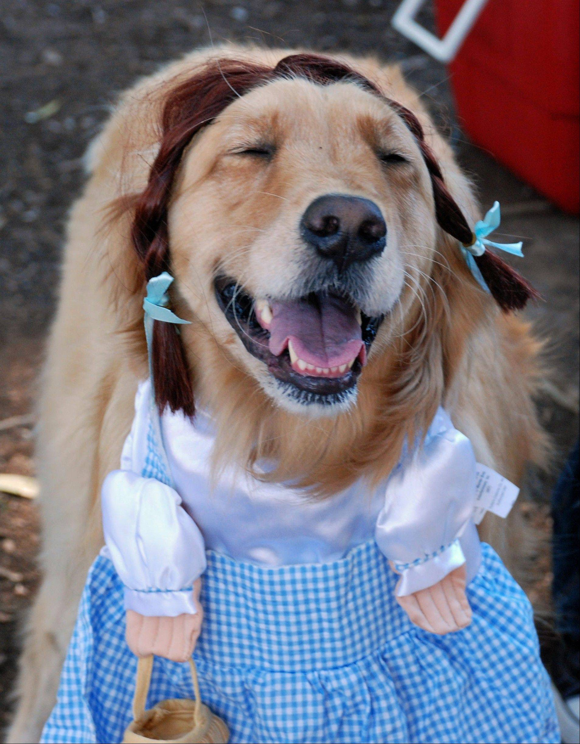 This Oct. 31, 2010 image provided by Sue Subkow, shows her golden retriever, Jill, in costume as Dorothy from The Wizard of Oz during the San Diego Golden Retriever Meetup Group's Halloween Pooch Party in San Diego, Calif. The first 45 minutes or hour of any golden retriever party involves letting the dogs run off-leash, Subkow said. That tires them out so they aren't too rambunctious during the on-leash parade, prize ceremony and lunch.