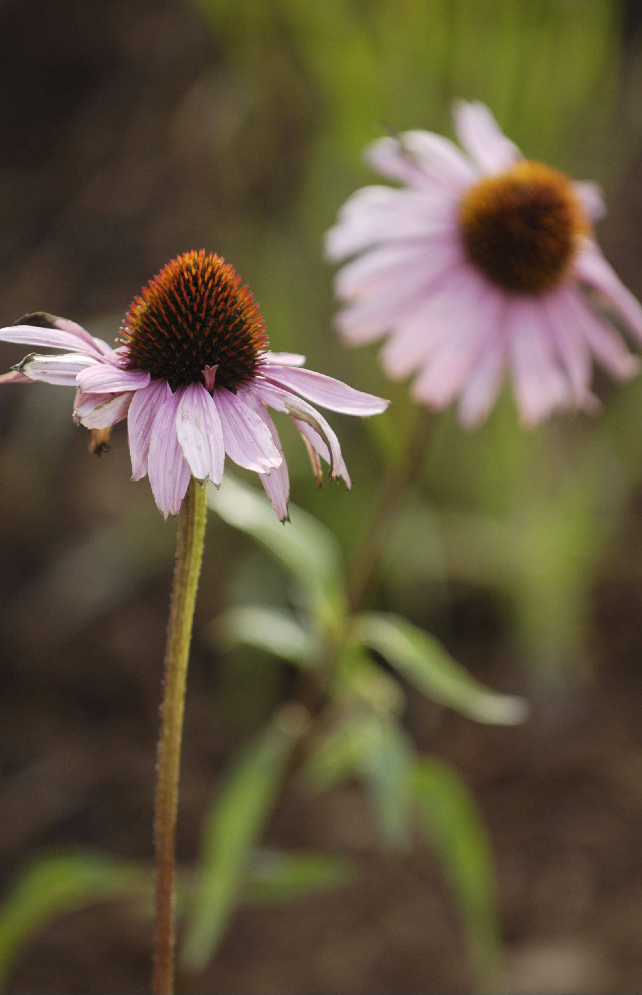Don't forget the coneflowers!