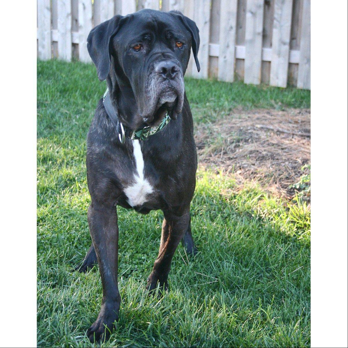 Hank is a male Mastiff who is about 5 years old and weighs around 100 pounds.