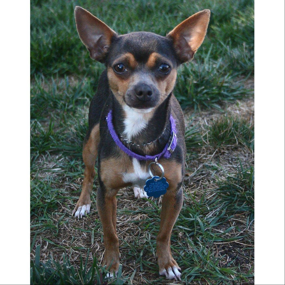 Willow, a female Chihuahua, is about six pounds and one year old.
