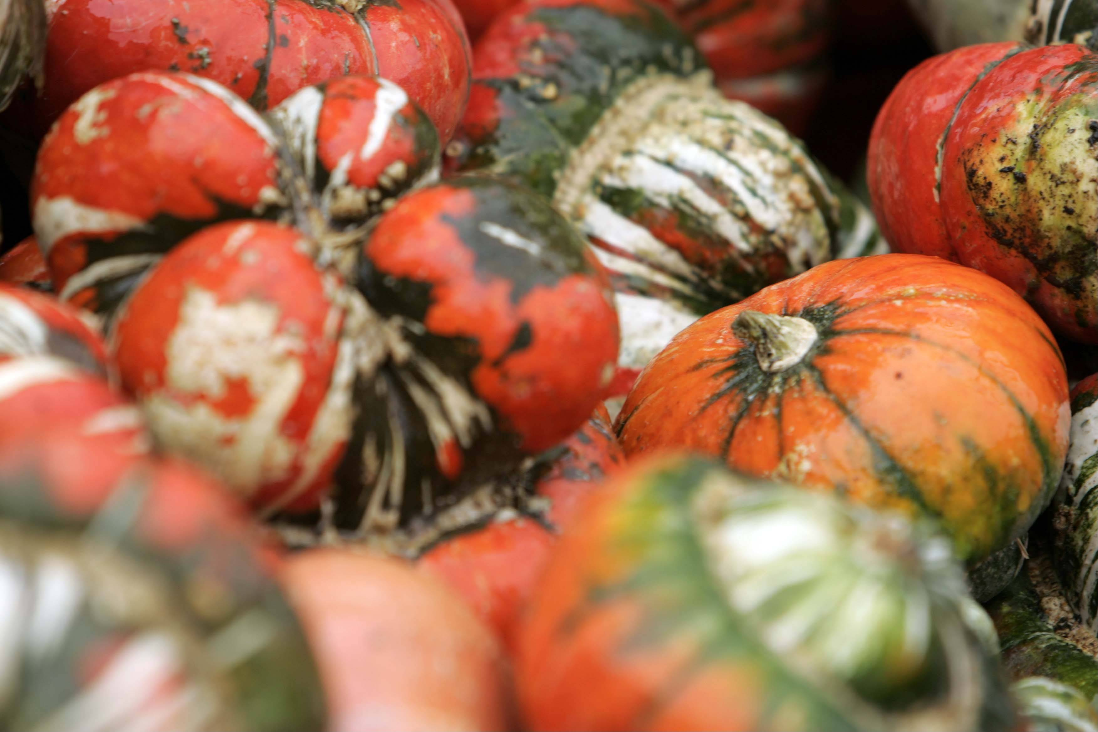 Turk's Turban squash at Randy's Vegetables in Elgin Wednesday October 3, 2012.