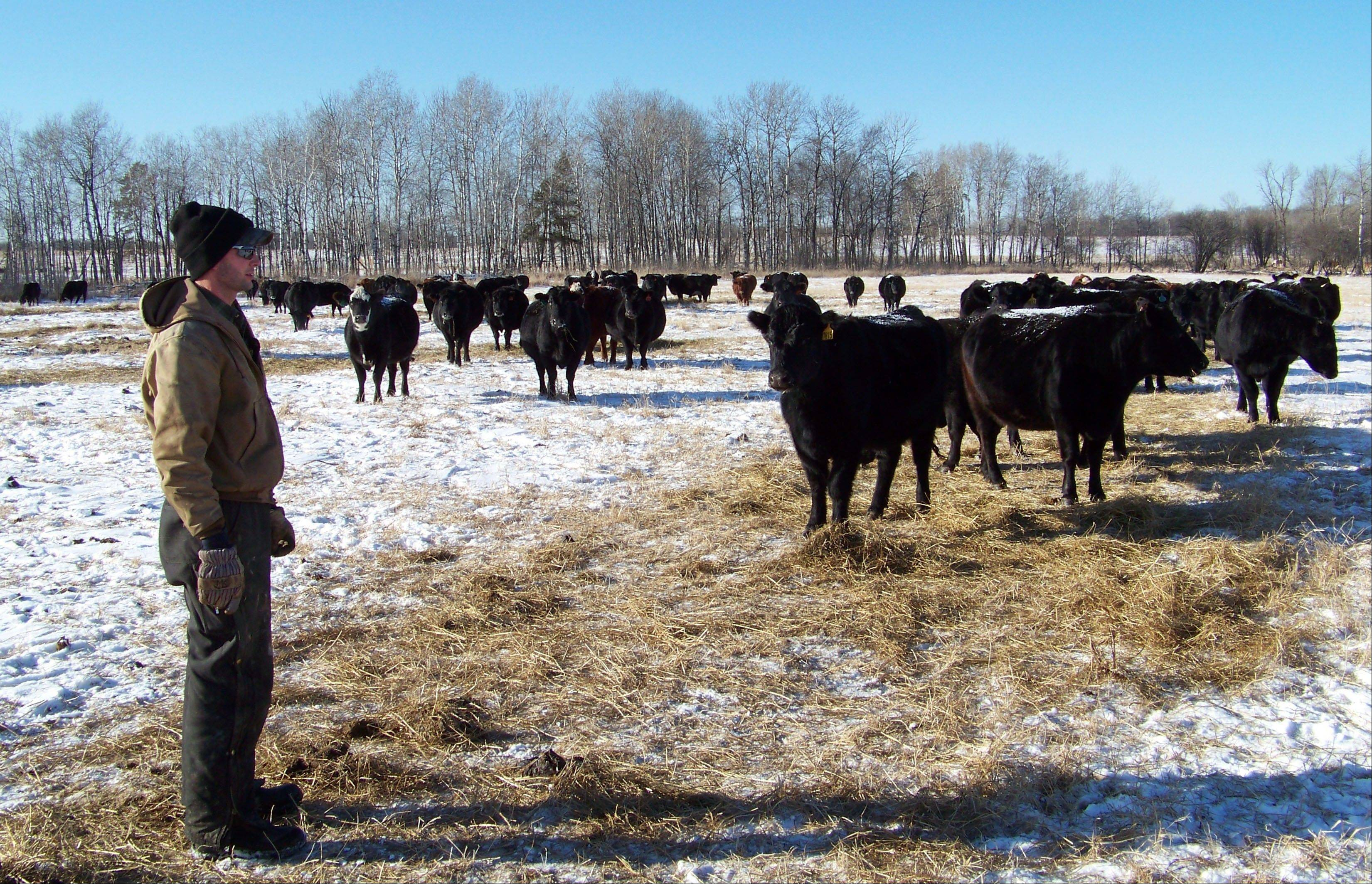Miles Kuschel checks his herd, which has lost several calves to wolves, on his ranch near Sebeka, Minn. Farmers have long complained about wolves wreaking havoc on their livestock and have been clamoring for states to allow hunting. Now, with government removal of Great Lakes wolves from the endangered species list in January, hunters in Wisconsin and Minnesota are preparing for the states' first organized wolf hunts.