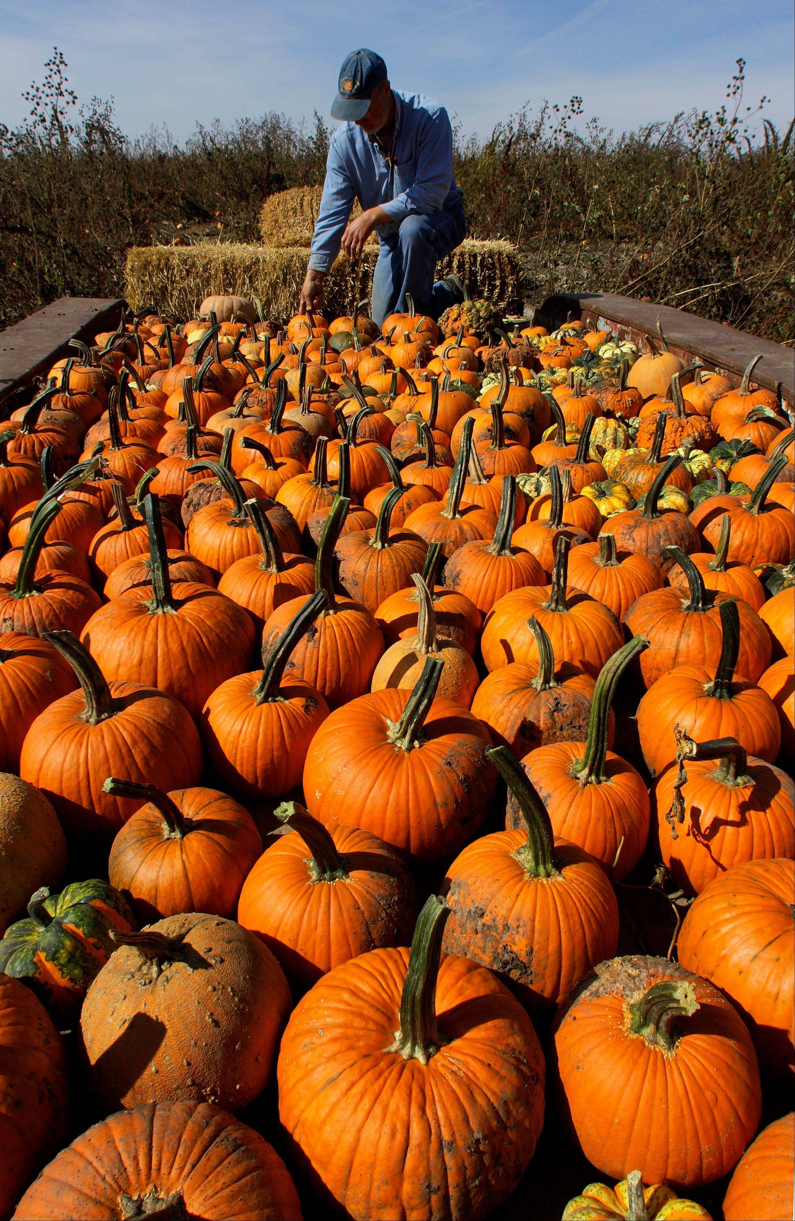 John Ackerman inspects harvested pumpkins on his farm Tuesday, Oct. 9, 2012 in Morton, Ill.
