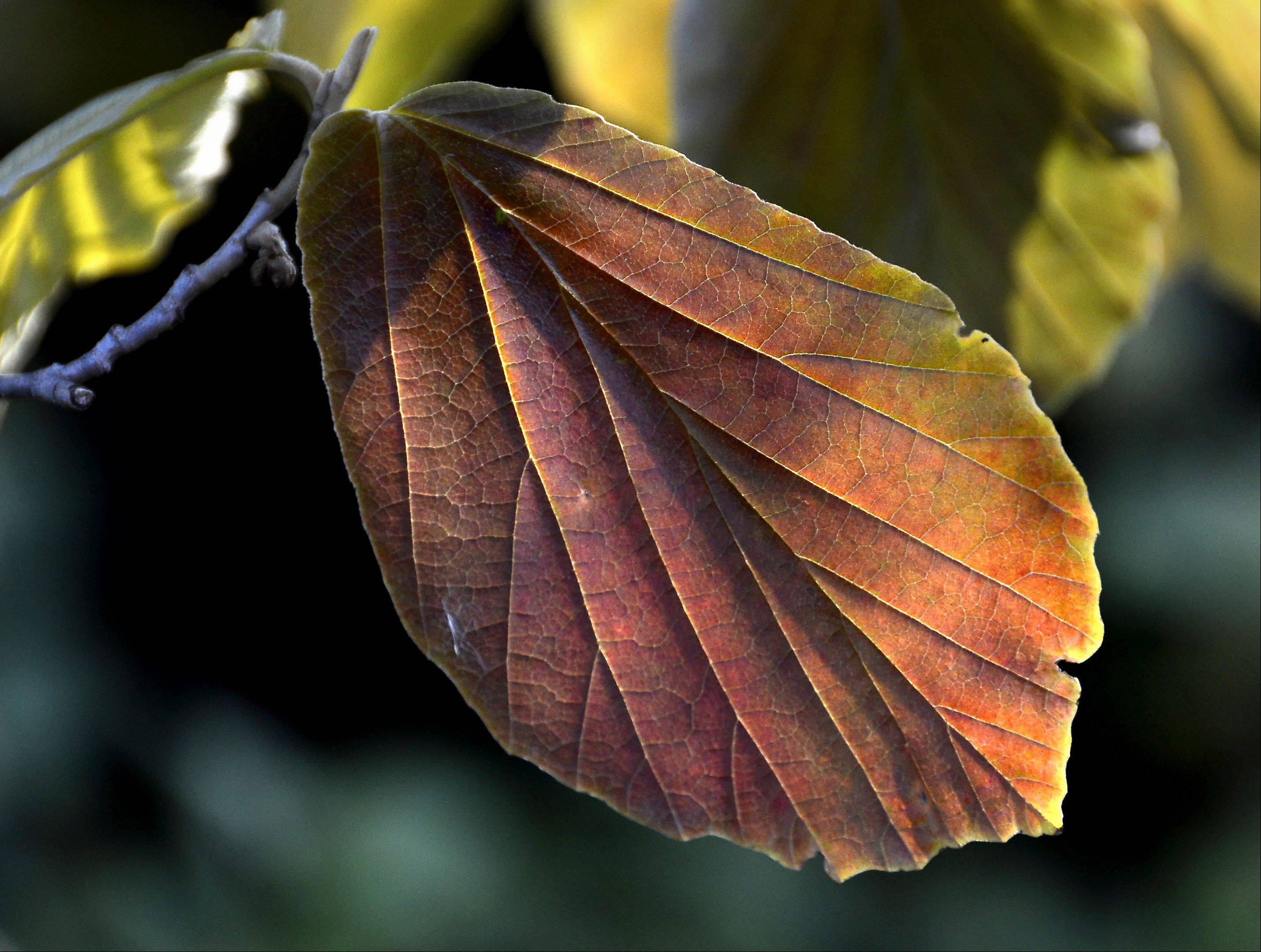 A Witch Hazel leaf hanging in the shadows glows as it is backlighted by the morning sun in Arlington Heights.