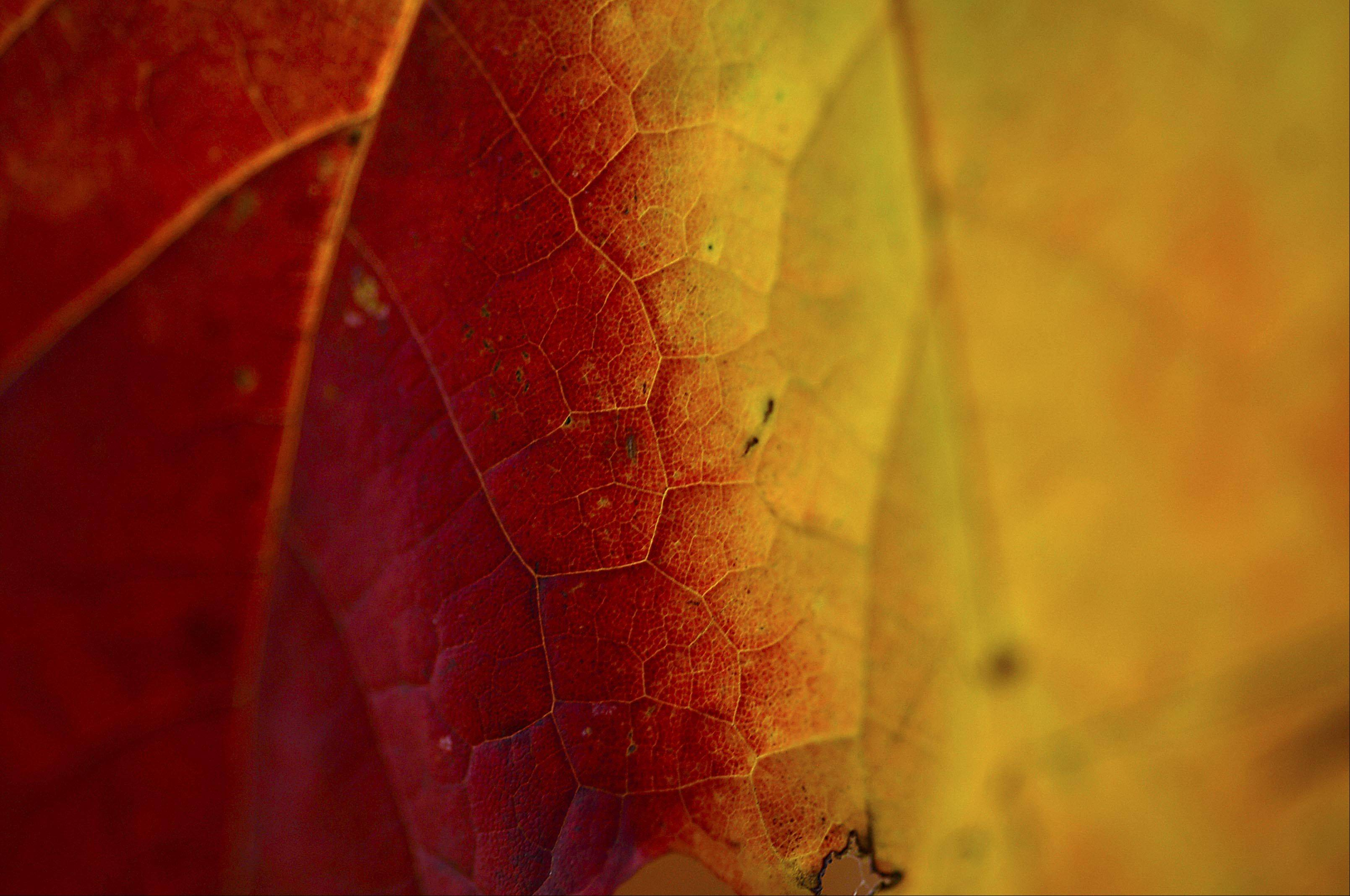 A maple leaf is split by colors in Algonquin Wednesday.