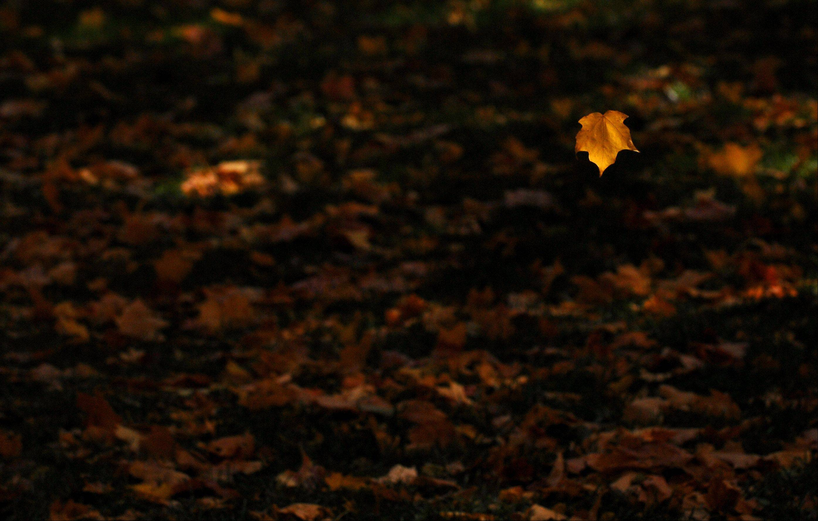 A leaf falls to the ground at Johnson's Mound Forest Preserve in Elburn Tuesday.