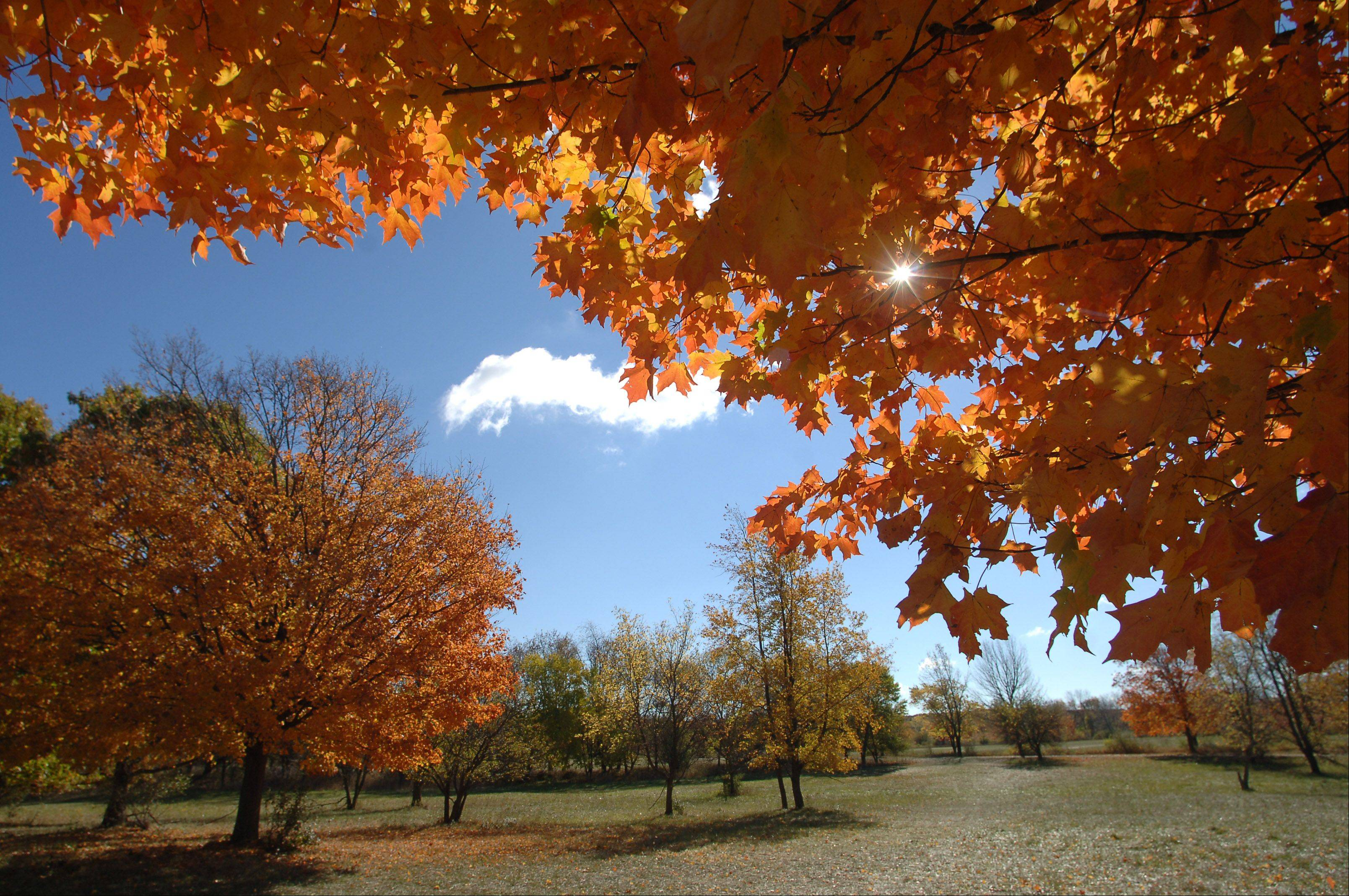 The sun peaks through a maple tree showing off its fall colors at the Lakewood Forest Preserve near Wauconda.