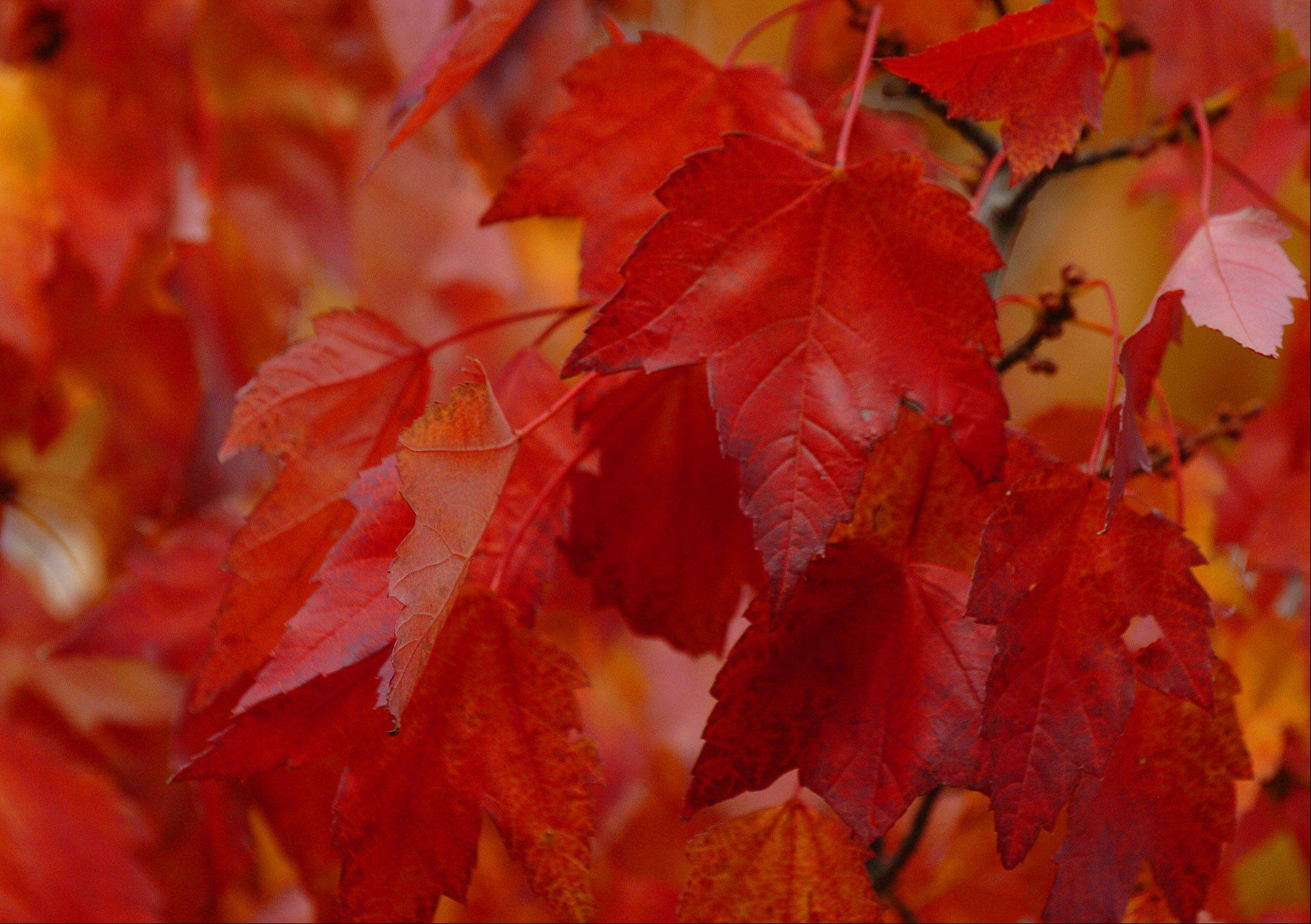 Maple leafs show their color at the Morton Arboretum in Lisle. Peak color is expected to be some time late next week.