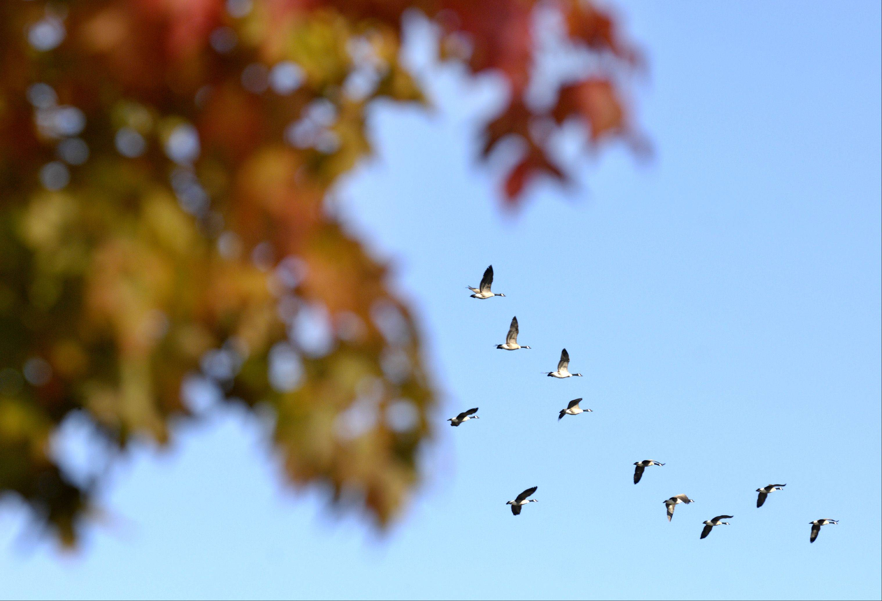 Canada geese fly past trees in full fall colors at Blackwell Forest Preserve.