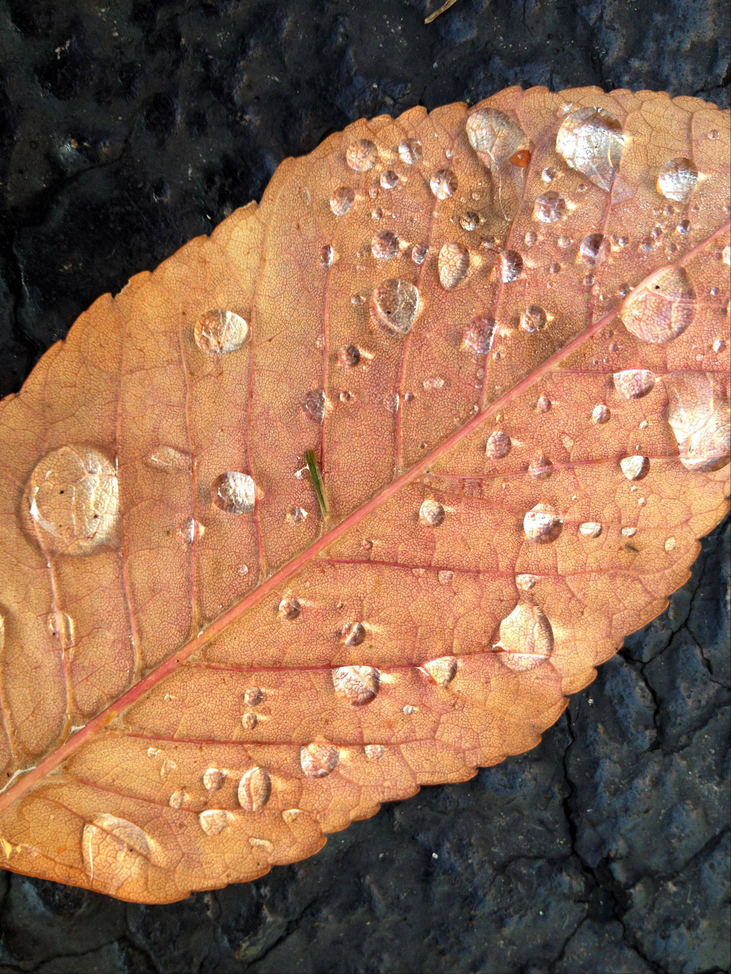 A fallen leaf is cover with rain drops on a crisp autumn morning in Geneva. 79016_