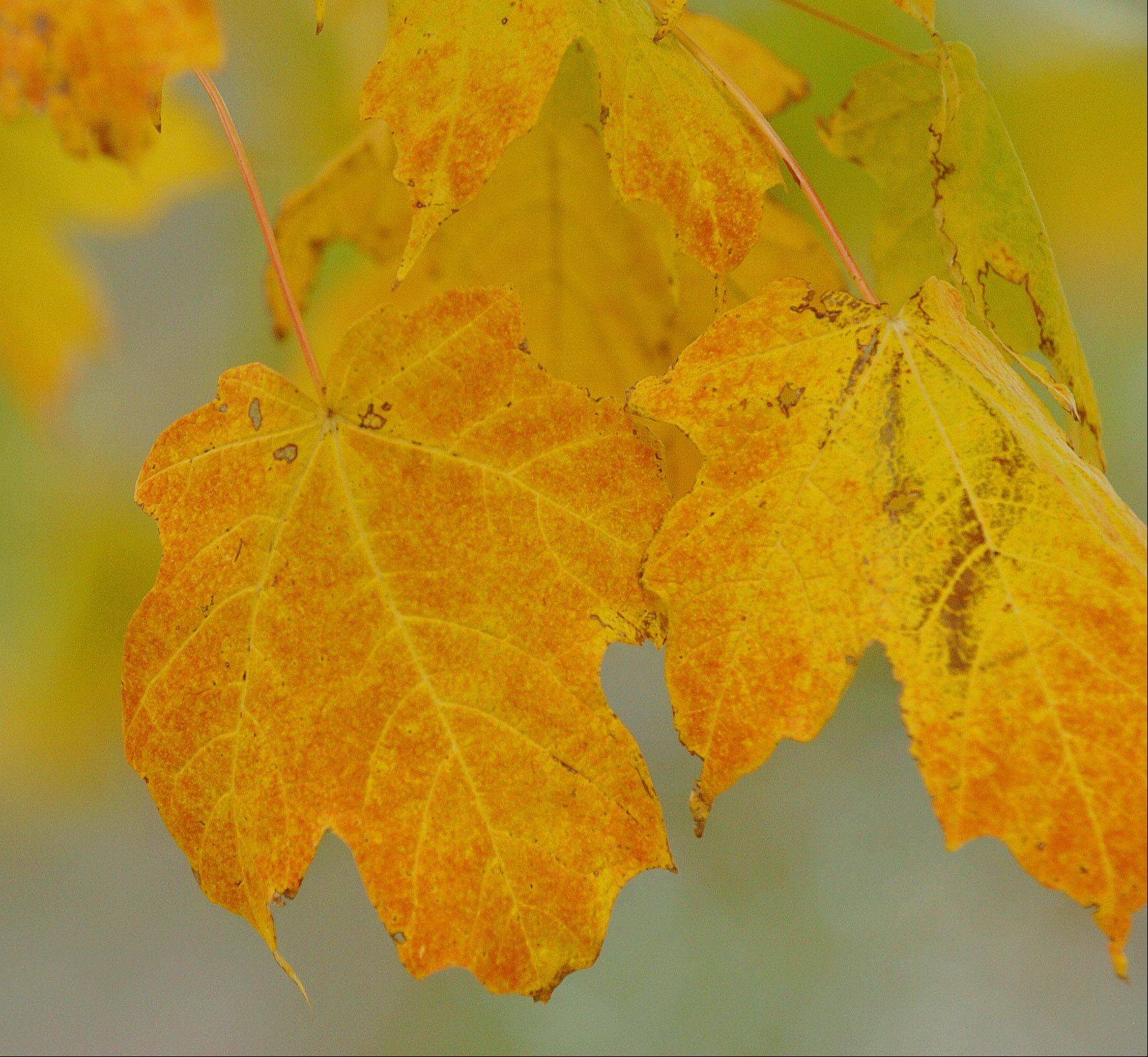 Maple leafs show their true color at Morton Arboretum in Lisle. Peak color is expected to be some time late next week.