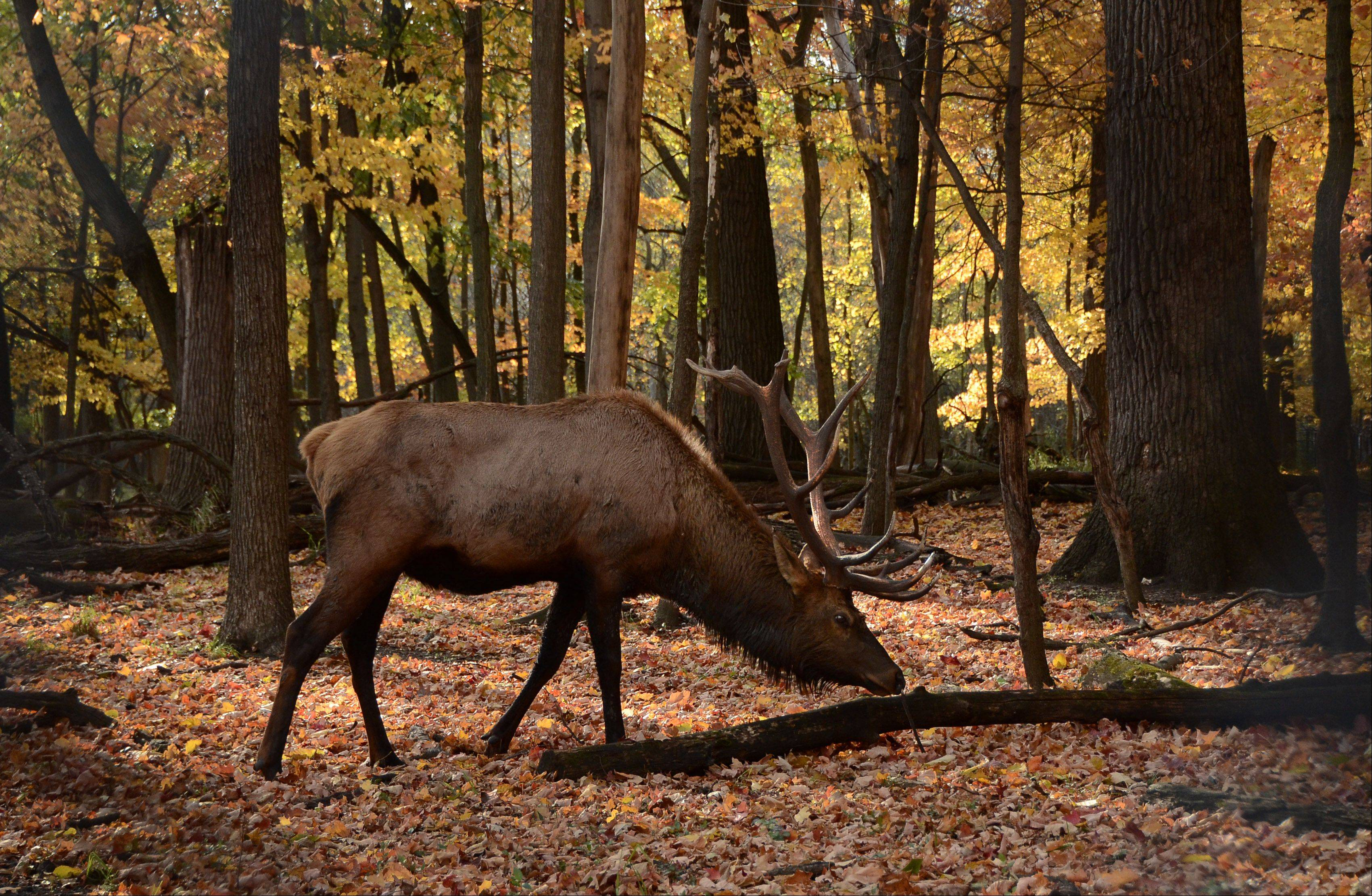 An elk grazes among the seasonal color at the Elk Grove in Busse Woods Forest Preserve Thursday afternoon near Elk Grove Village.