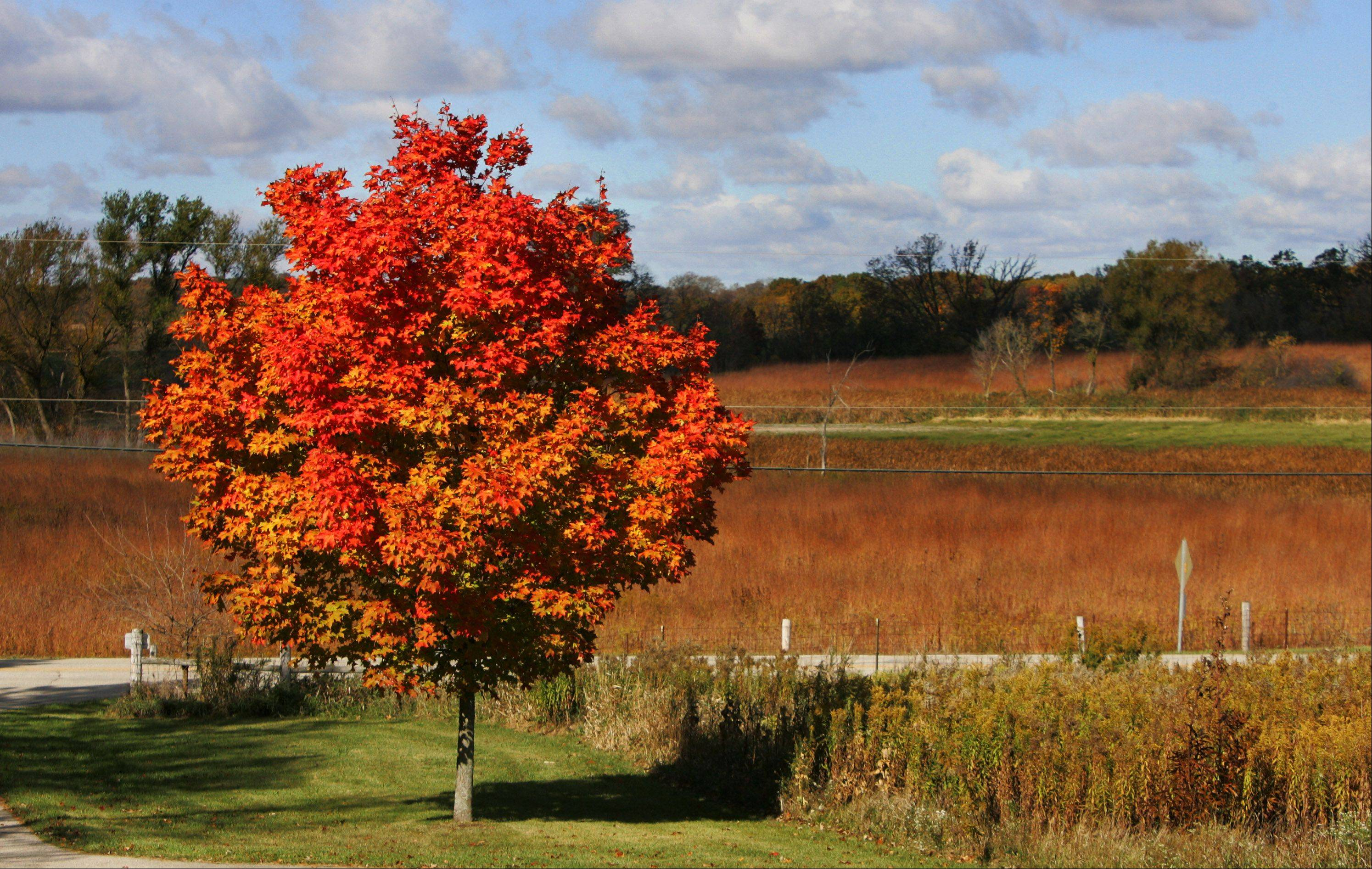 Trees and bushes are changing into their fall colors in Volo Bog State Natural Area.