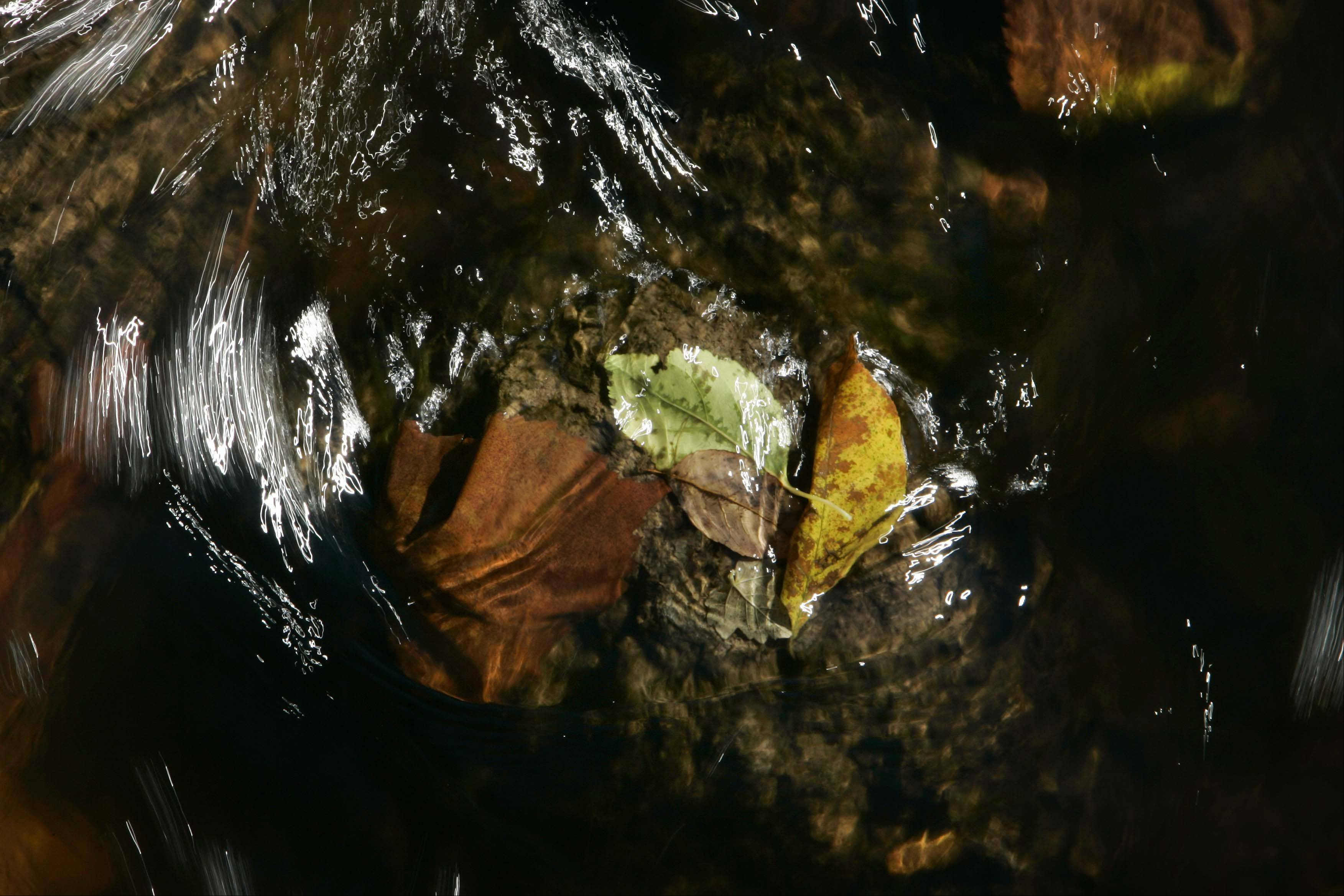 Fallen leaves cling to a rock in Tyler Creek in Tyler Creek Forest Preserve as Fall color hits Elgin Wednesday October 10, 2012.