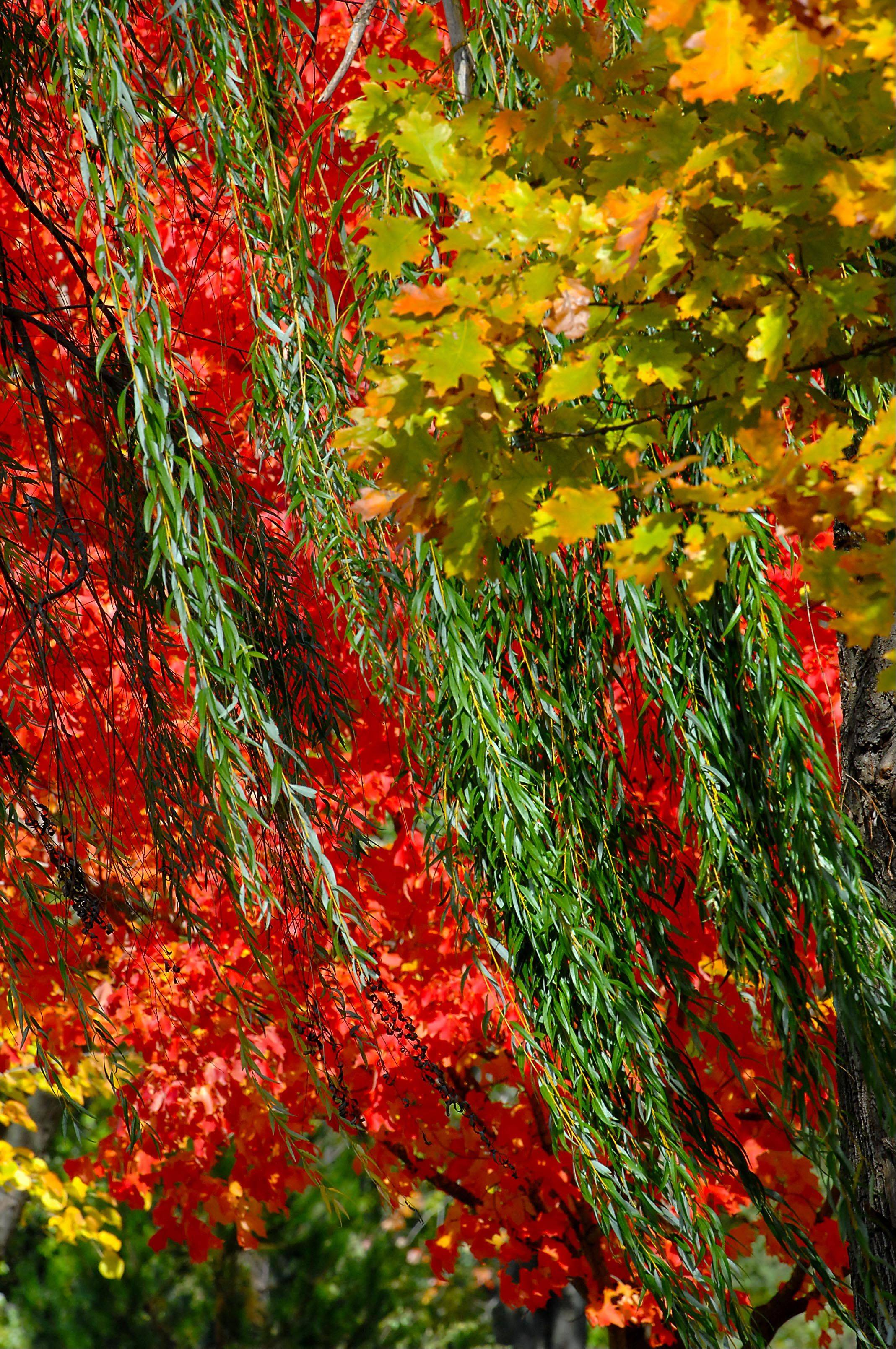 A red maple, a green willow and an orange oak are layered near the Fox River in Algonquin Wednesday.