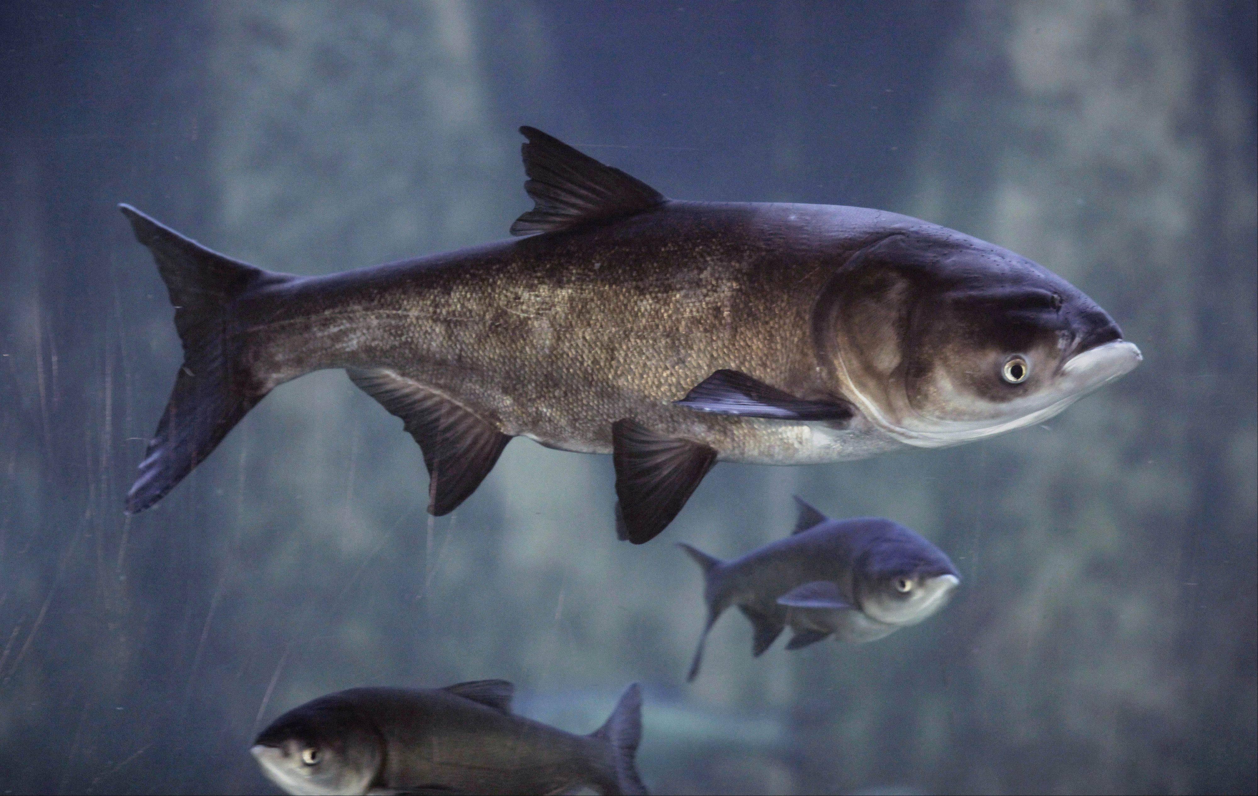 Asian carp are poised to invade the Great Lakes, where scientists say they could out-compete native fish for food.