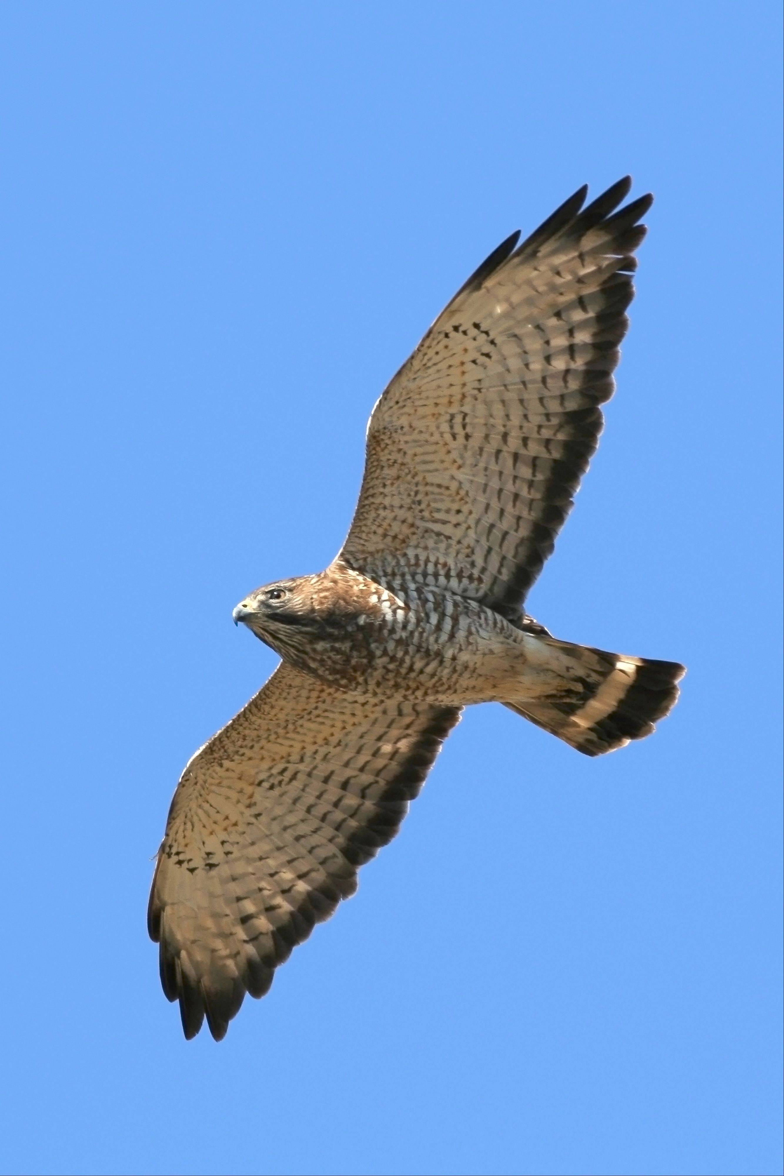 Migrating broad-winged hawks are common this time of year and are sometimes seen in great numbers. Most are heading to Central or South America.