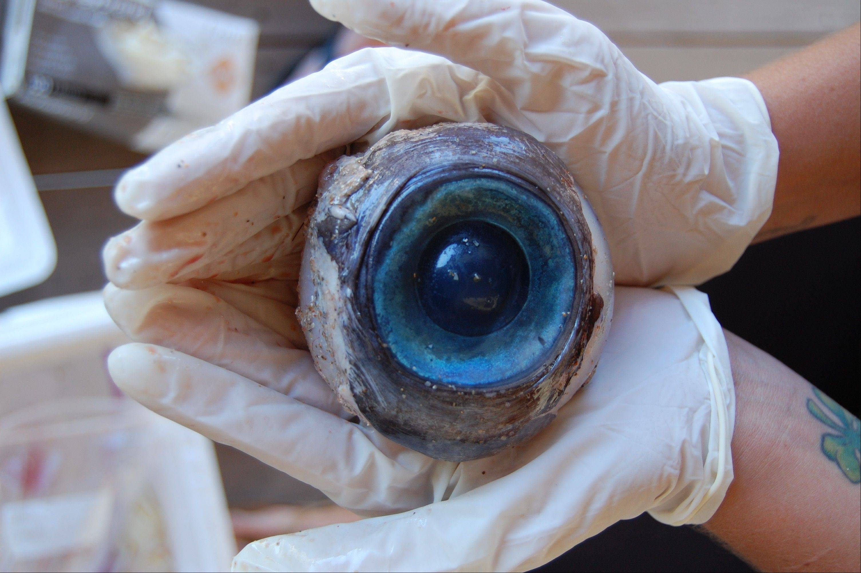 A giant eyeball that washed ashore and was found by a man walking the beach in Pompano Beach, Fla. on Wednesday likely came from a swordfish, experts say.