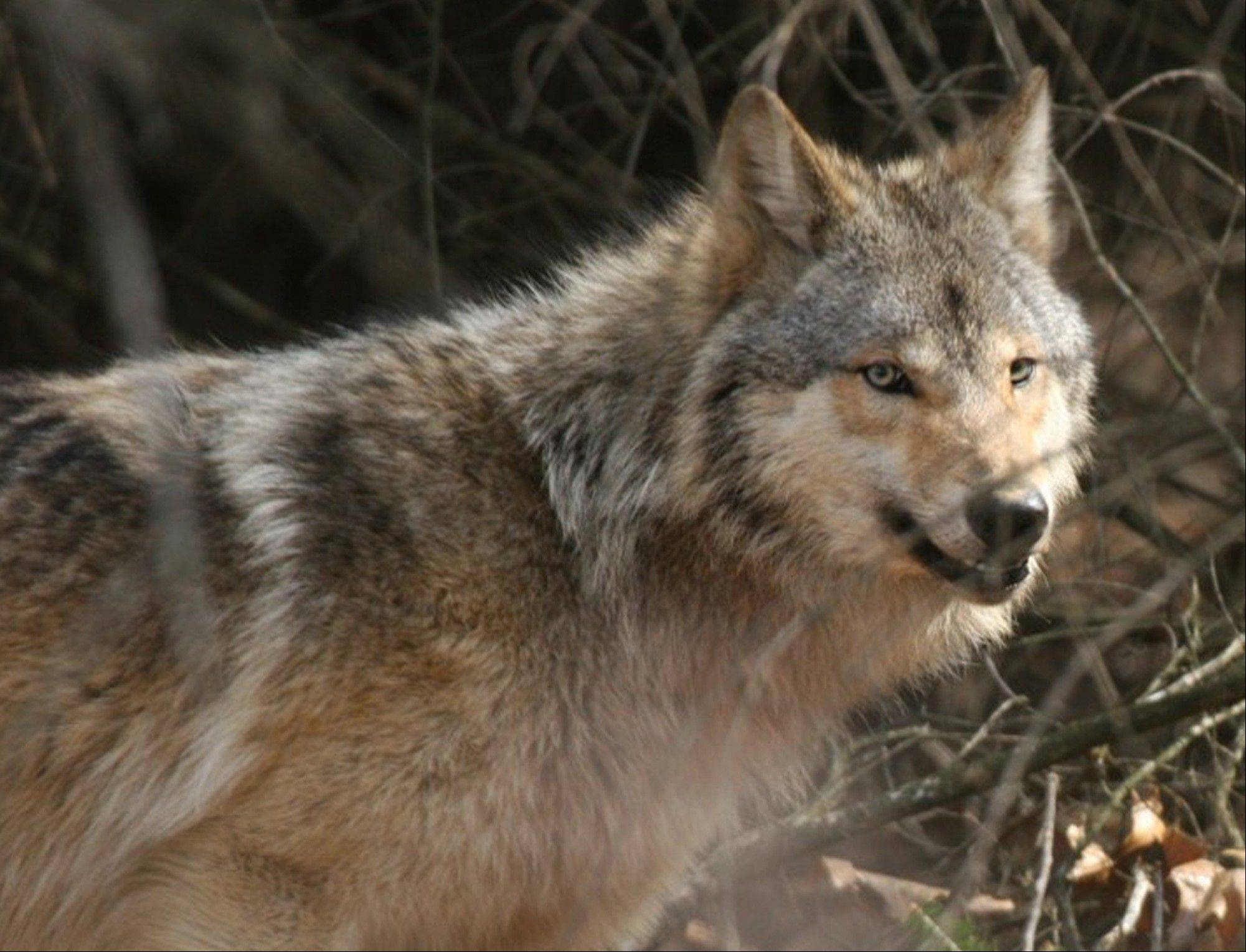 After months of contentious debate, Wisconsin's first organized wolf hunt has begun and will run through February.