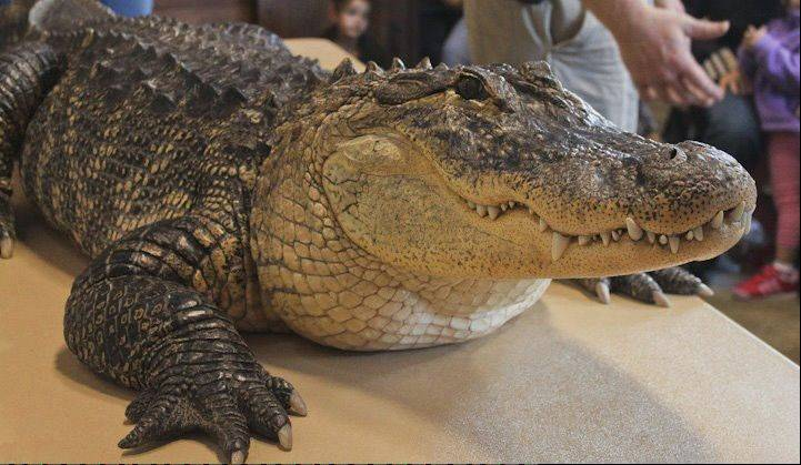 Meet Bubba at the CROCtoberfest event at the Wildlife Discovery Center at Elawa Farm in Lake Forest.