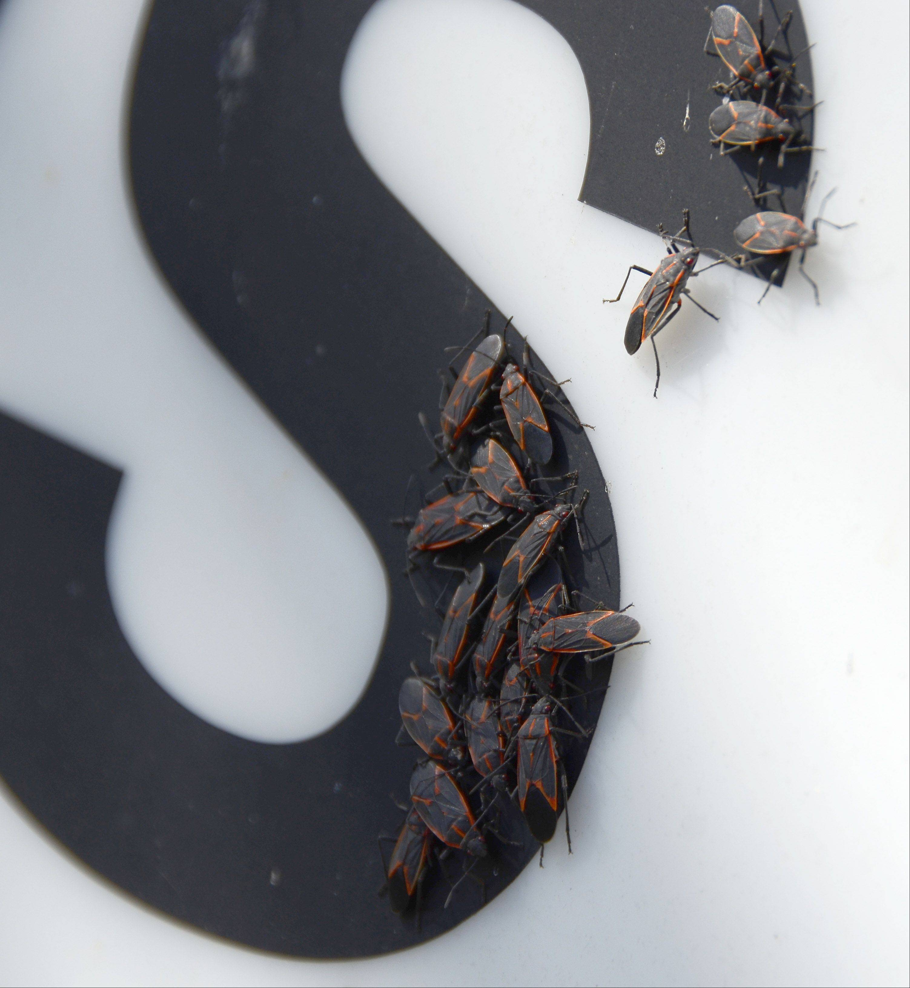 Boxelders seek the heat of a black letter on a metal sign in the sun in Arlington Heights.