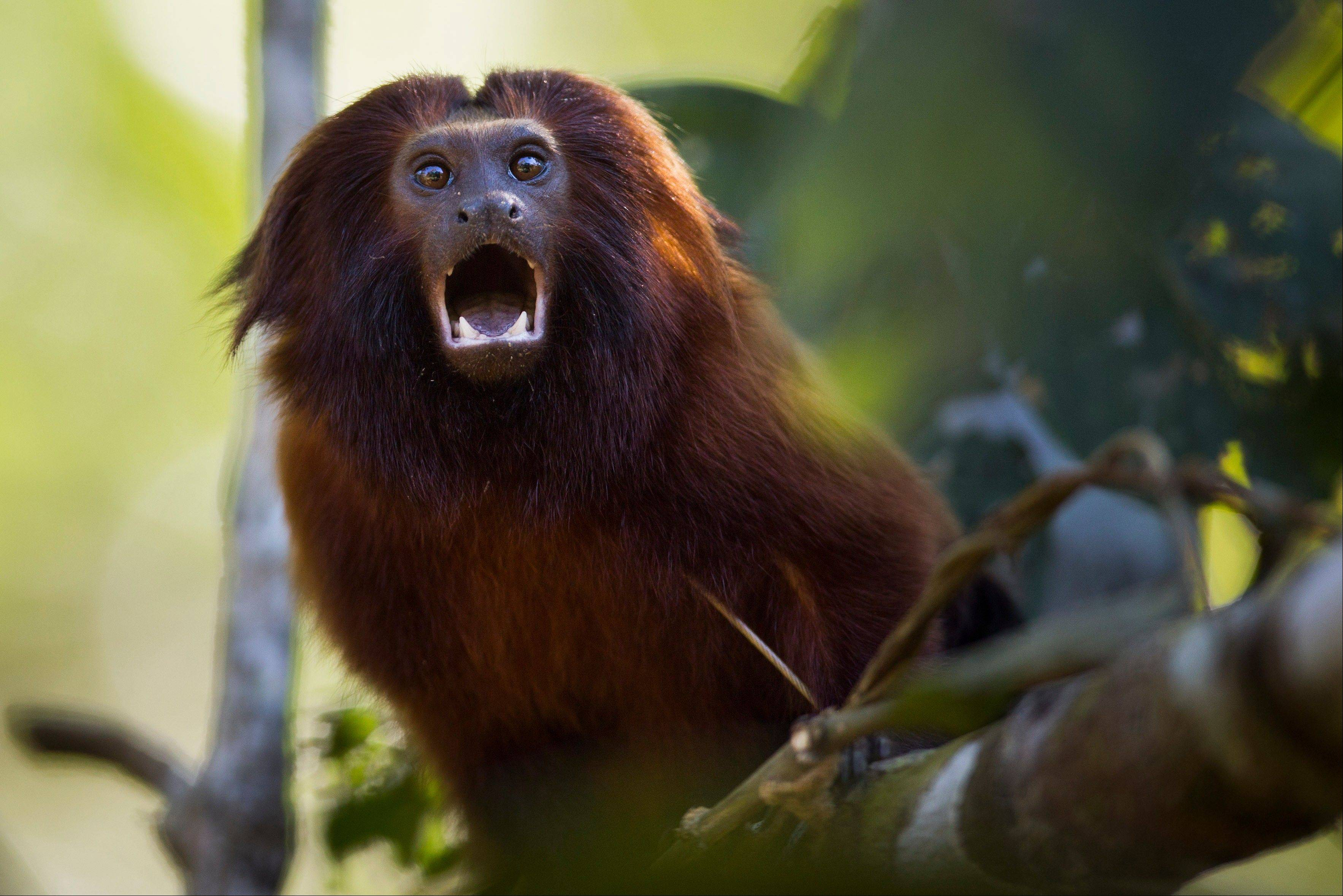 A golden lion tamarin sits on a branch in the Atlantic Forest region of Silva Jardim, in Brazil�s state of Rio de Janeiro.
