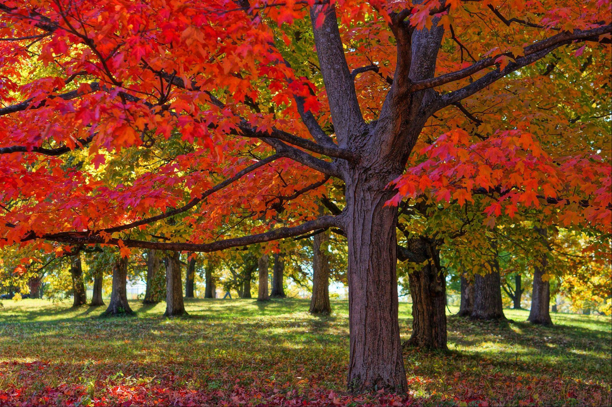 Fall's grand show was revealed in the brilliance of the maple trees at the Morton Arboretum in Lisle this past week.