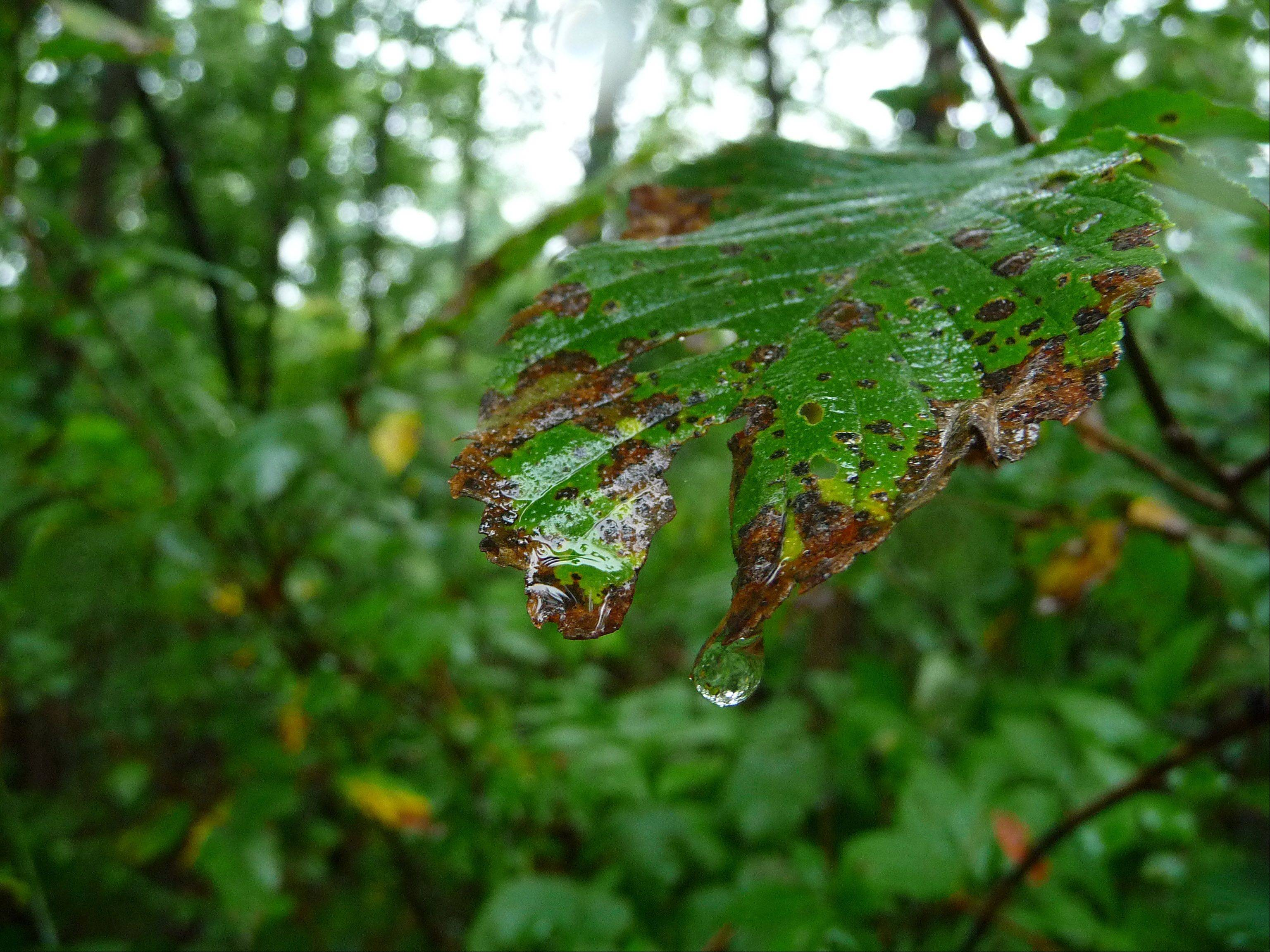 A drop of water hangs off a leaf in the Schaumburg forest preserve after a long rain.