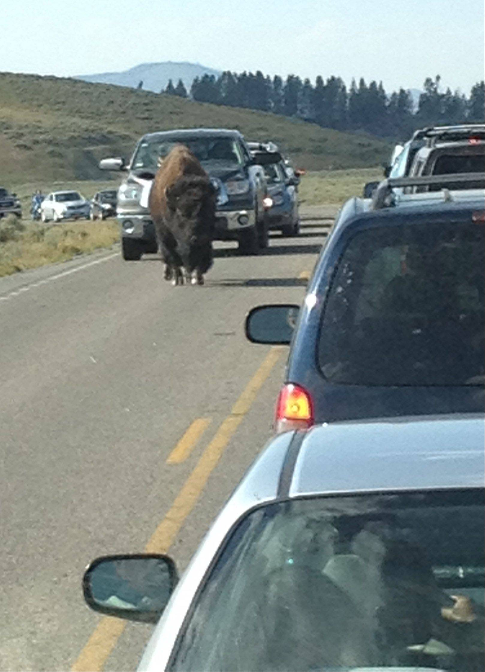 A huge bison had traffic backed up for a couple of miles in Yellowstone National Park in August.