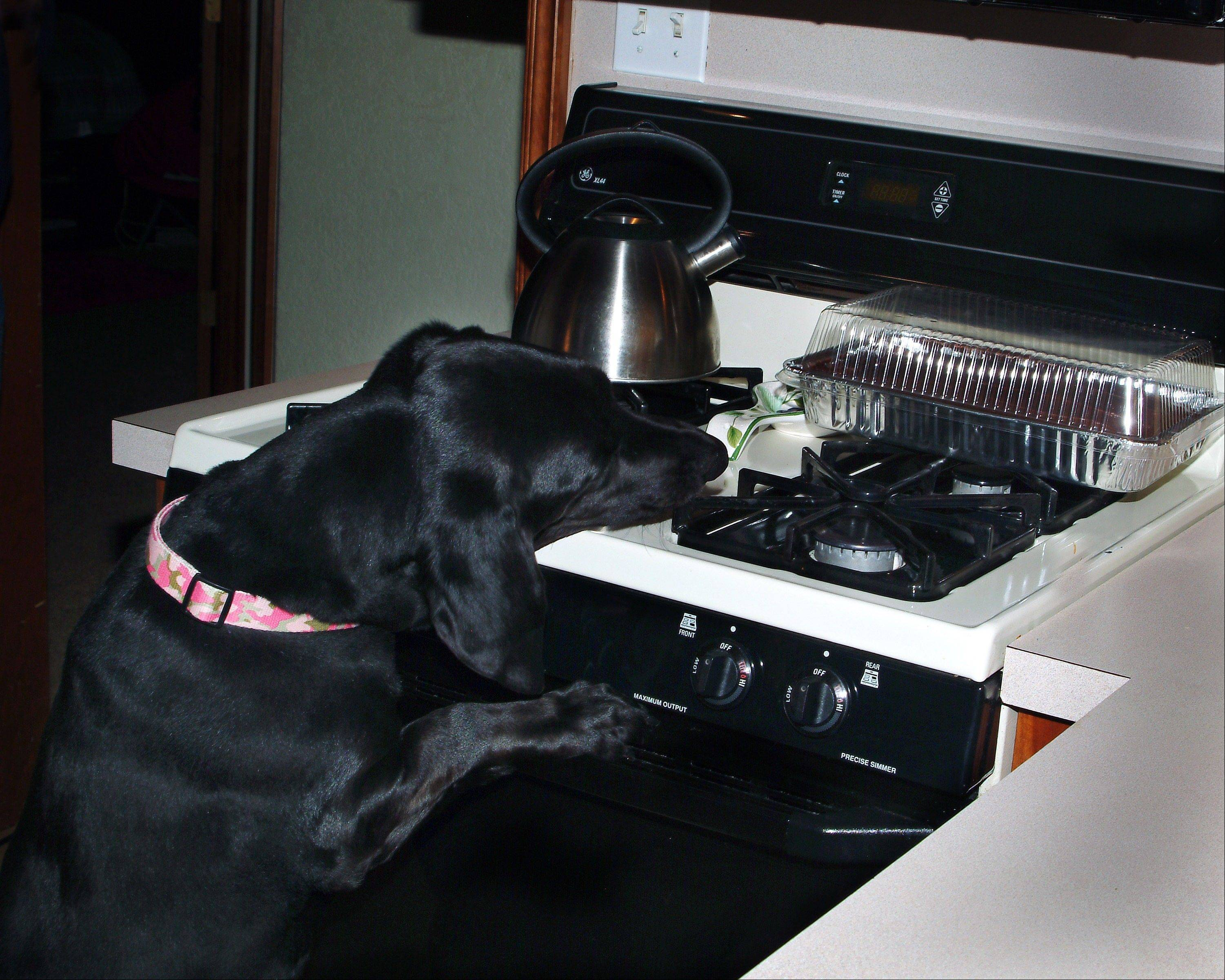 Lucy, 5-year-old, lab-basset hound mix, reaches for a homemade cake on a stove in Norman, Okla. Pets and other animals set about 510 house fires every year in this country, the majority involving a stove or oven, lamp or light fixture, a candle, embers or ashes from a fireplace or a space heater.