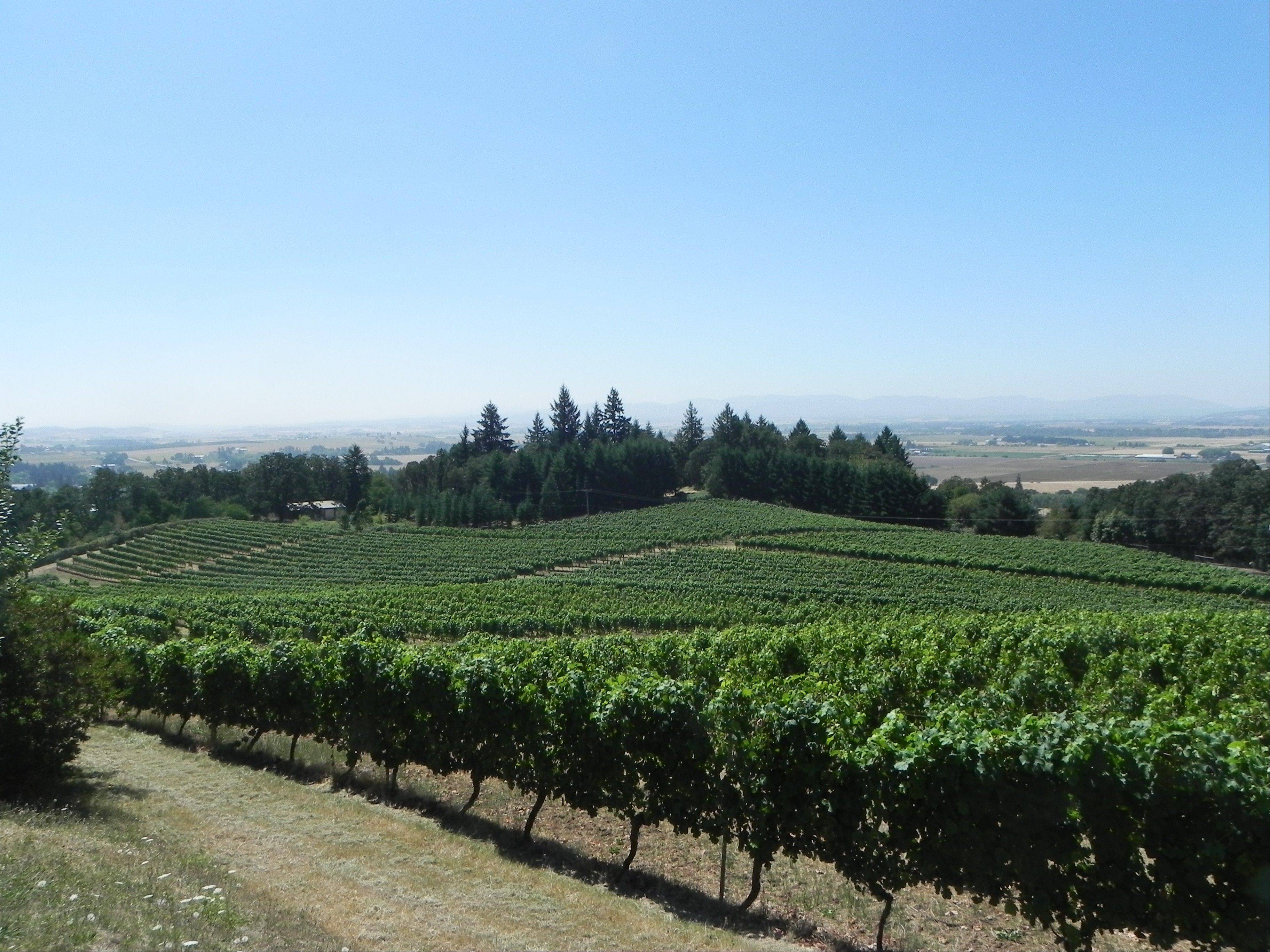 Vines spill down toward the Willamette Valley at Amity Vineyards in Amity, Ore.