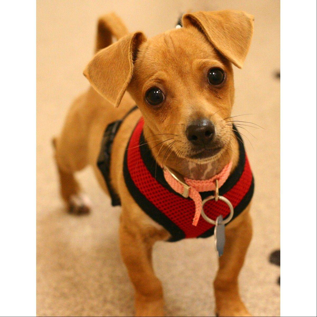 Oscar is a male Dachshund. He�s around 3 months old.