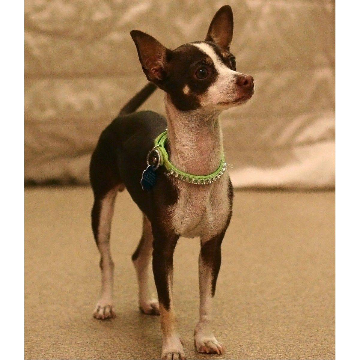 Petunia is a female Chihuahua, about a year and a half old and around 6 pounds.