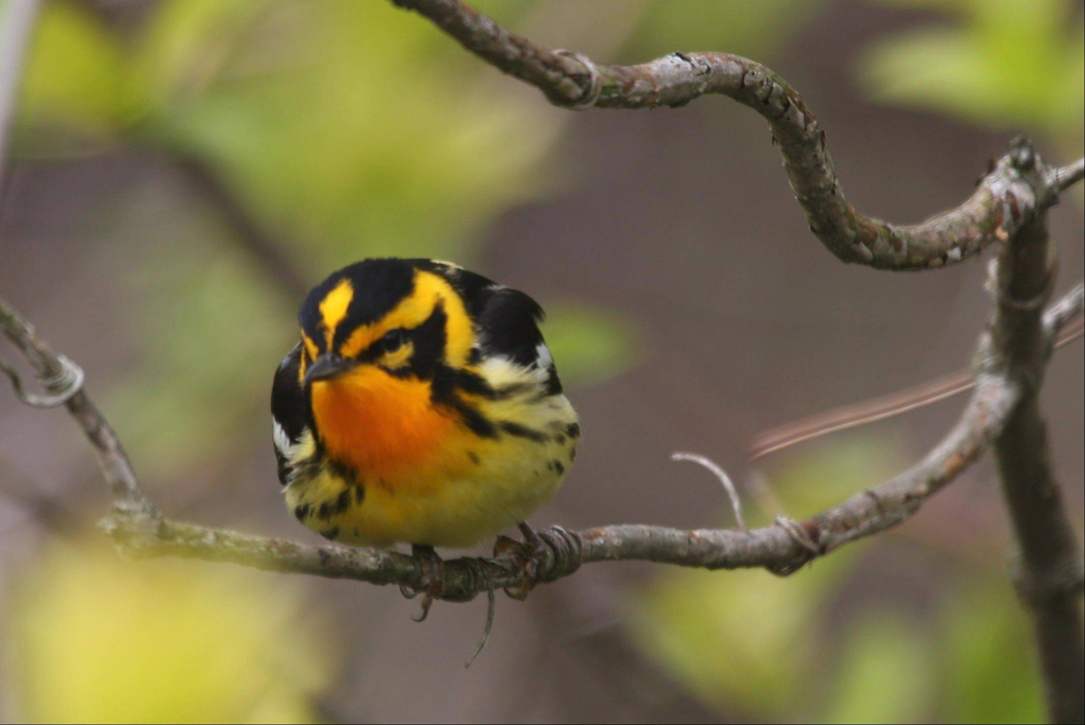 Sue Wagoner took this photo of a blackburnian warbler, a spring migrant admired for its flashy colors and fondness for treetops, at Magee Marsh Wildlife Area in Ohio.