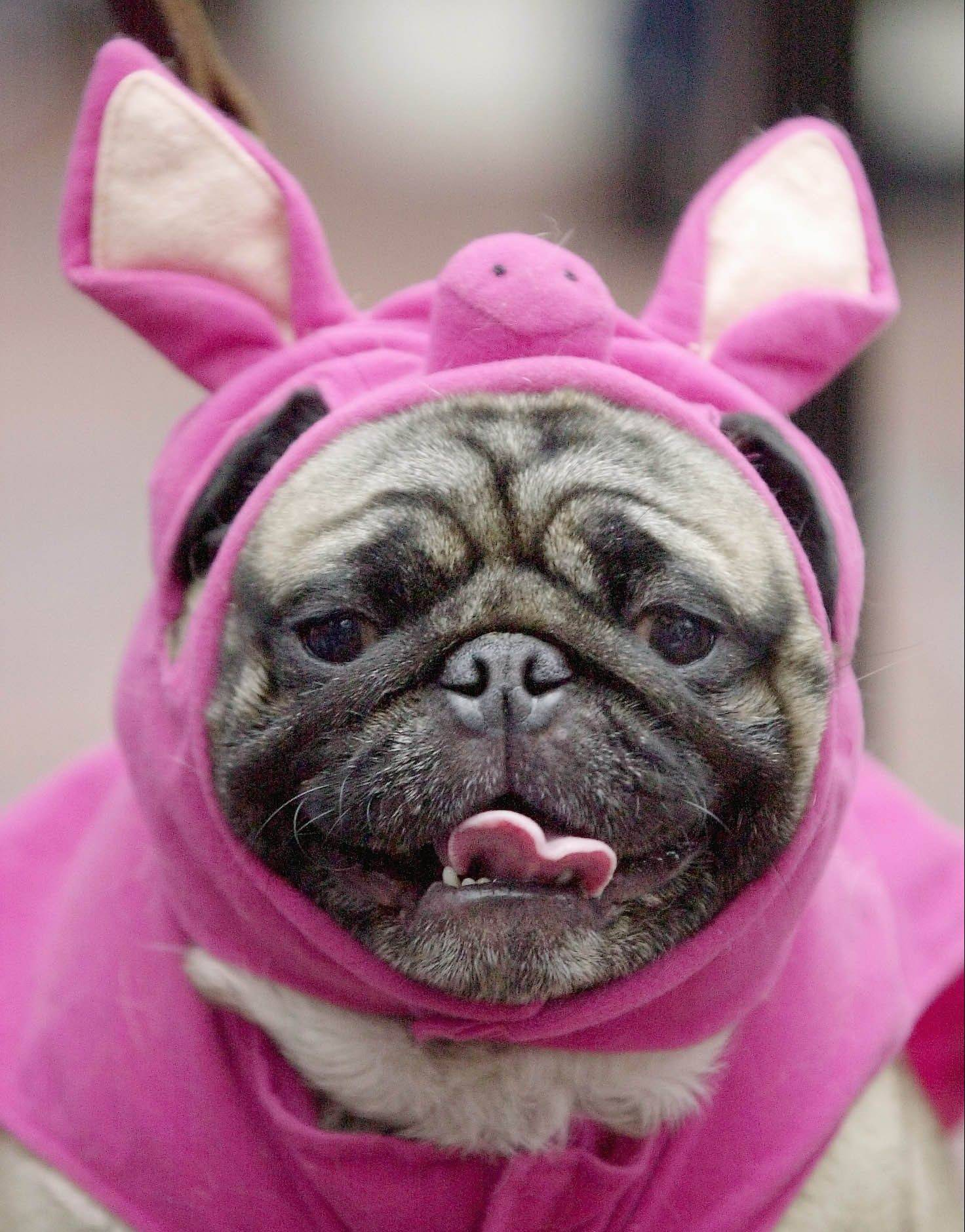 Enter the first Suburban Chicago Pet Costume Contest.
