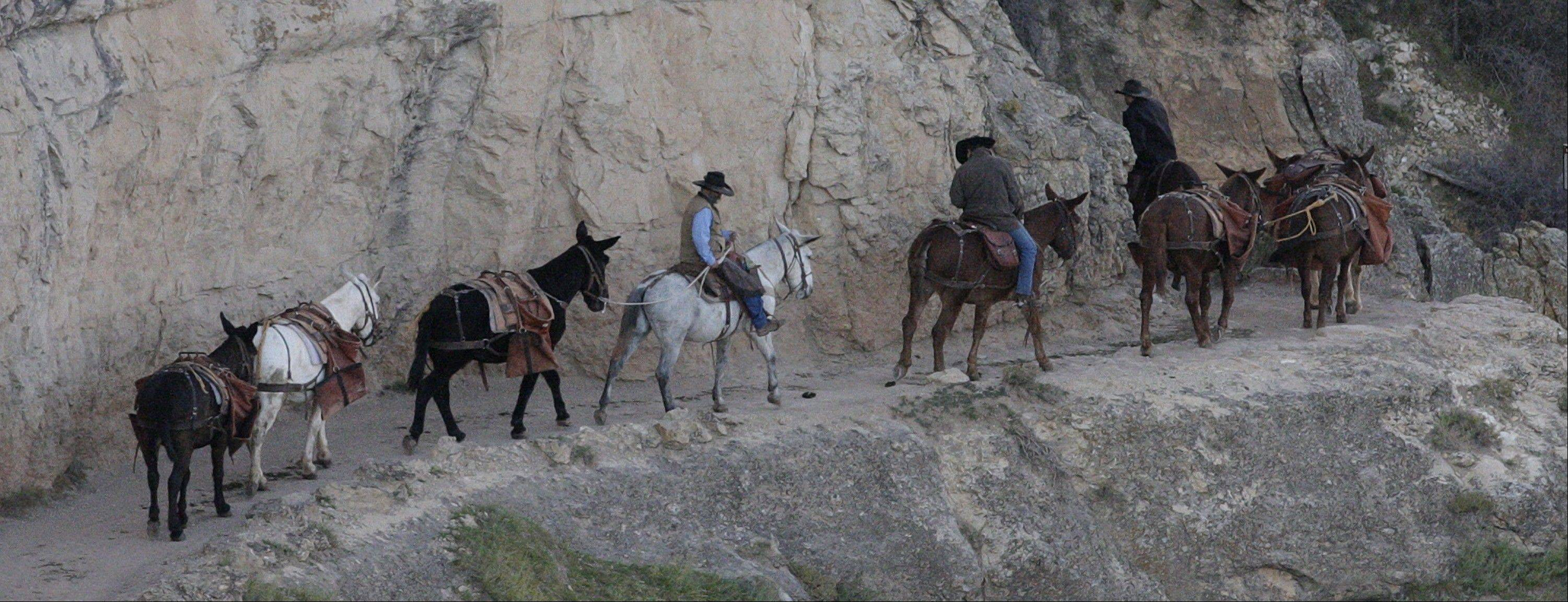 A mule team walks along the Bright Angel Trail on the South Rim of the Grand Canyon National Park in Arizona.