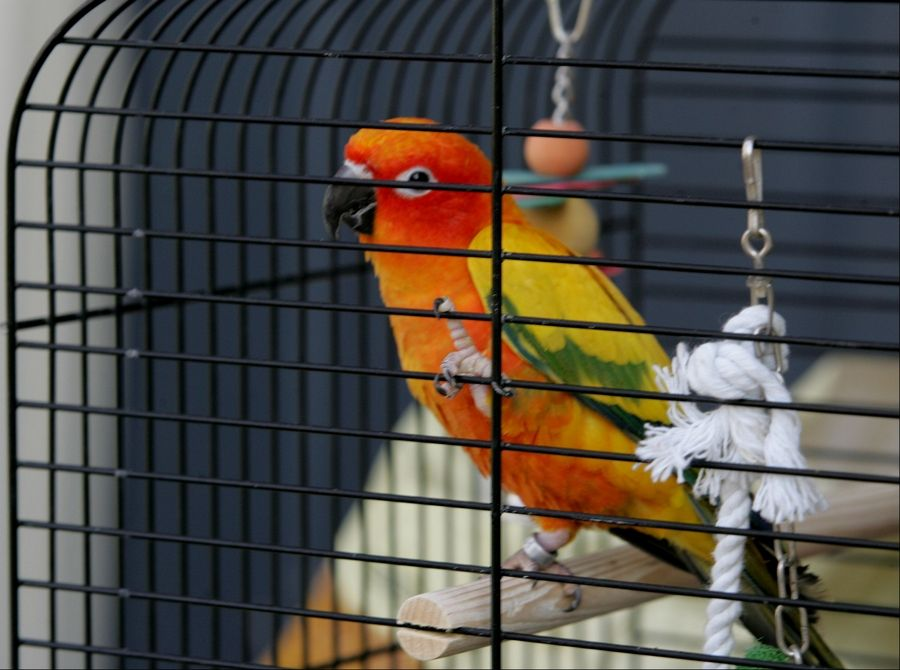Sweetheart, a sun conure, is one of roughly 300 birds that Aurora officials said they found last week inside Dave Skeberdis' townhouse. Skeberdis wants to clean up the home himself, but city officials are seeking a court order to take over.