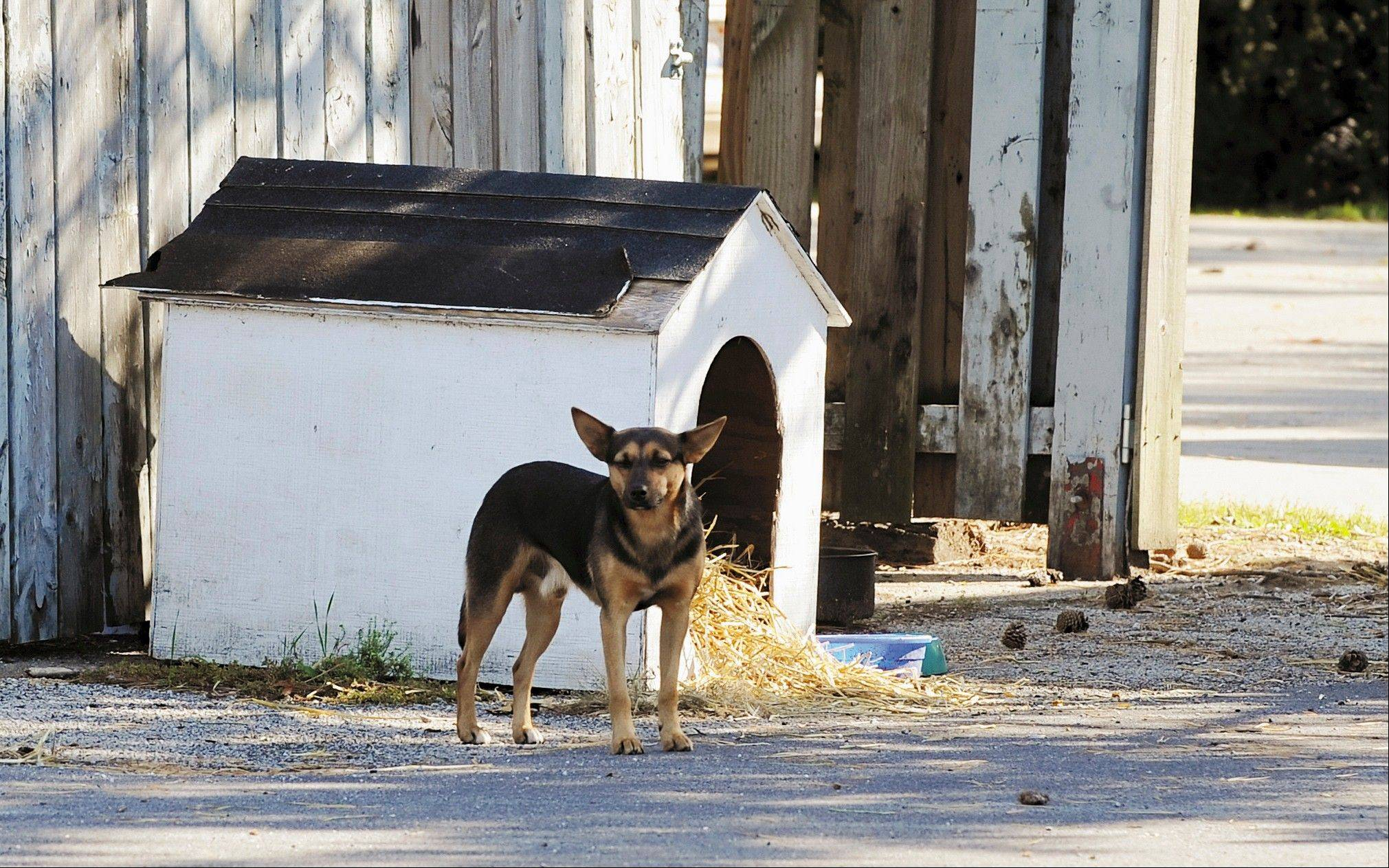 Max, a stray dog, watches from a distance at his dog house near Smoky's House BBQ restaurant in Charleston.