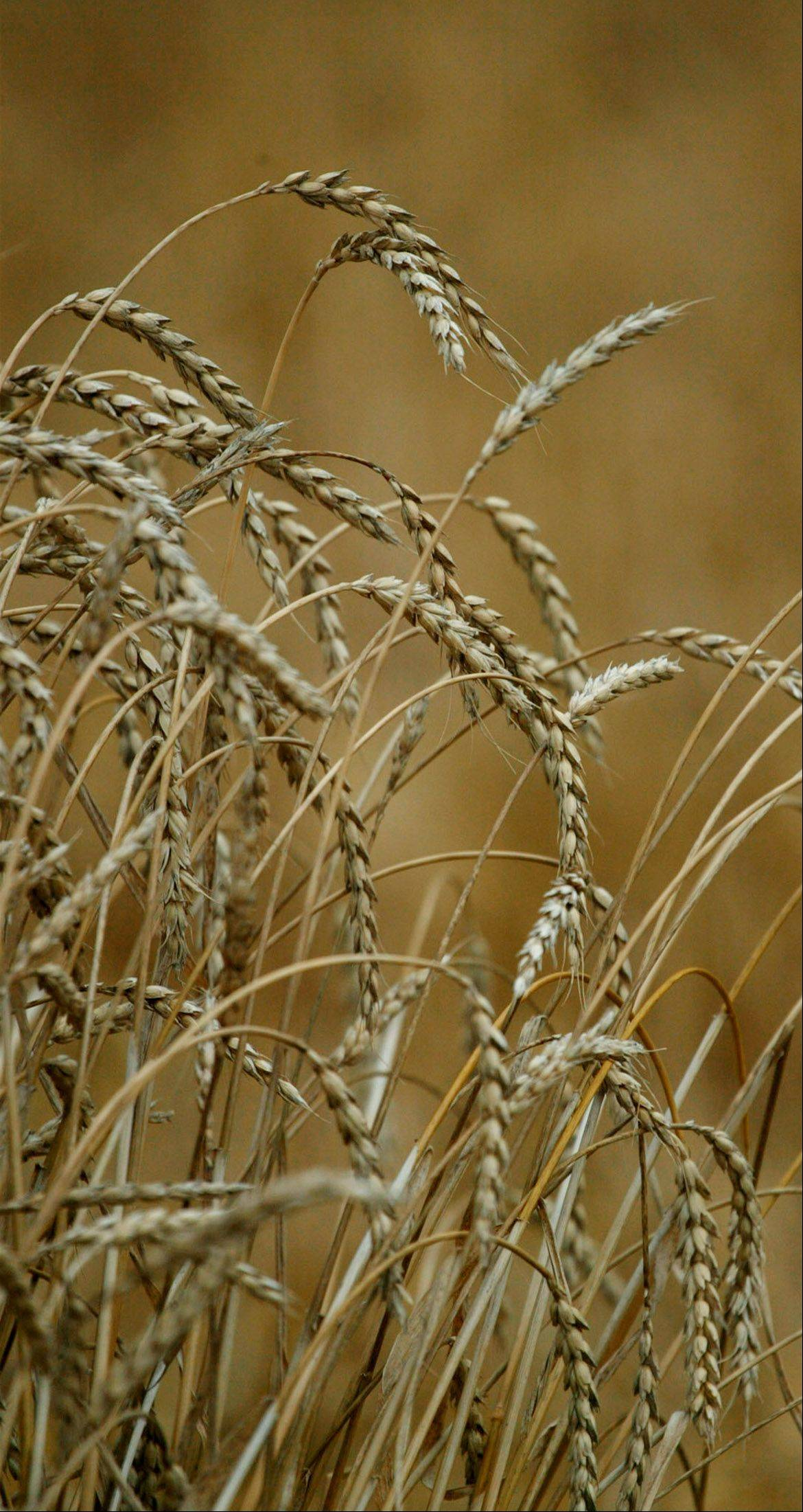 Farmers had planted 81 percent of the winter wheat crop as of Monday. Only half of the crop has emerged, which is 7 percentage points lower than average.