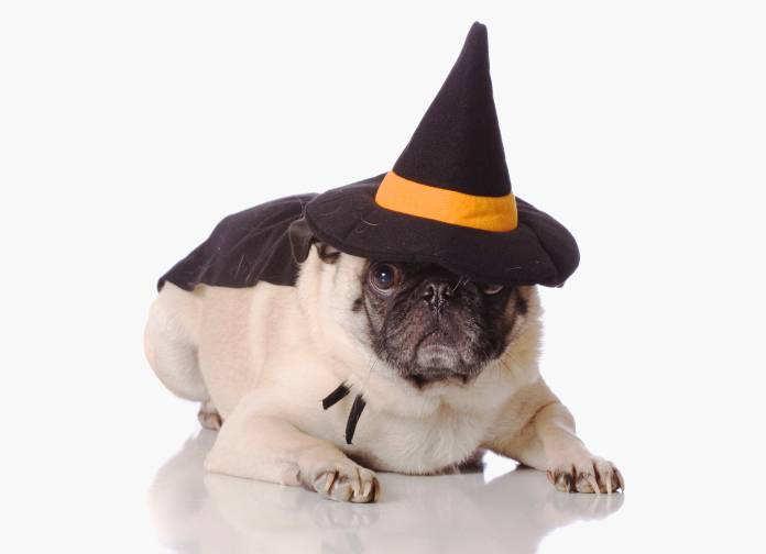 This pug is ready for Halloween, dressed as a witch. What are you dressing your pet as? Send us a picture and you might win our contest.