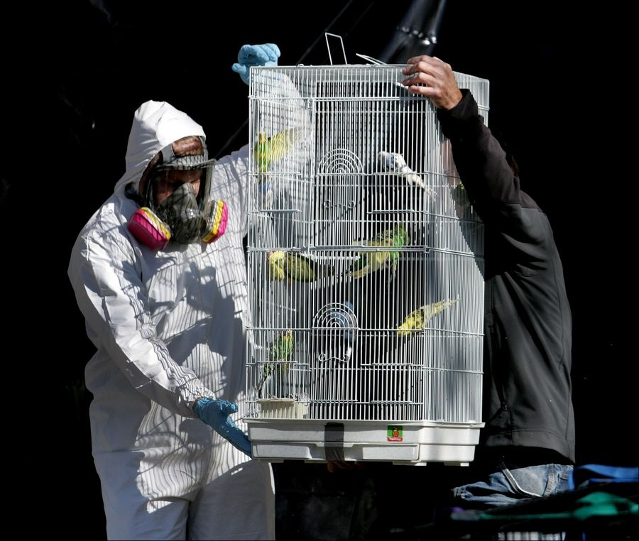 Birds are removed from a home on the 200 block of Shadybrook Lane in Aurora on Friday. Owner Dave Skeberdis now has until Nov. 7 to clean the mounds of garbage inside until the city can take over.