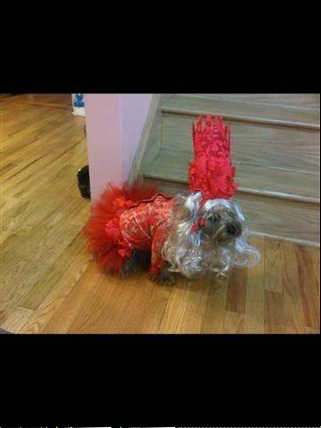 This is my dog Cookie dressed up as Lady Gaga, as she appeared in the 2009 VMA's.