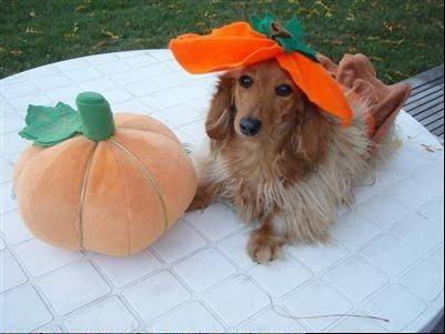 Zoe, a six-year old long-haired dachshund, is dressed as a Pumpkin.