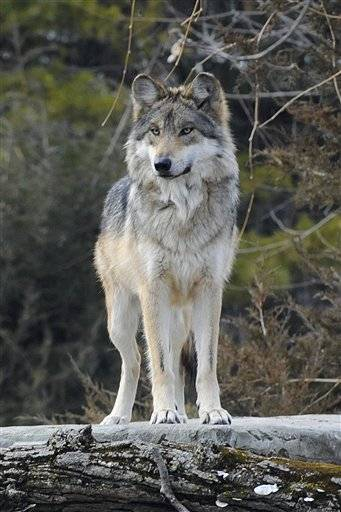 The 4 1/2-year-old wolf, named Ernesta, will be paired with a mate for potential release
