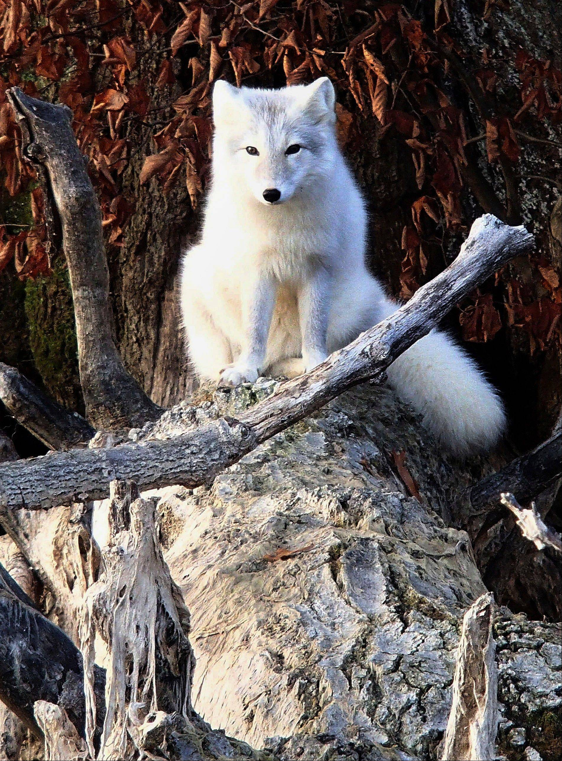 Associated PressA white fox walks across dried vegetation hanging from a log Wednesday on the shore of Evergreen Lake near Hudson.