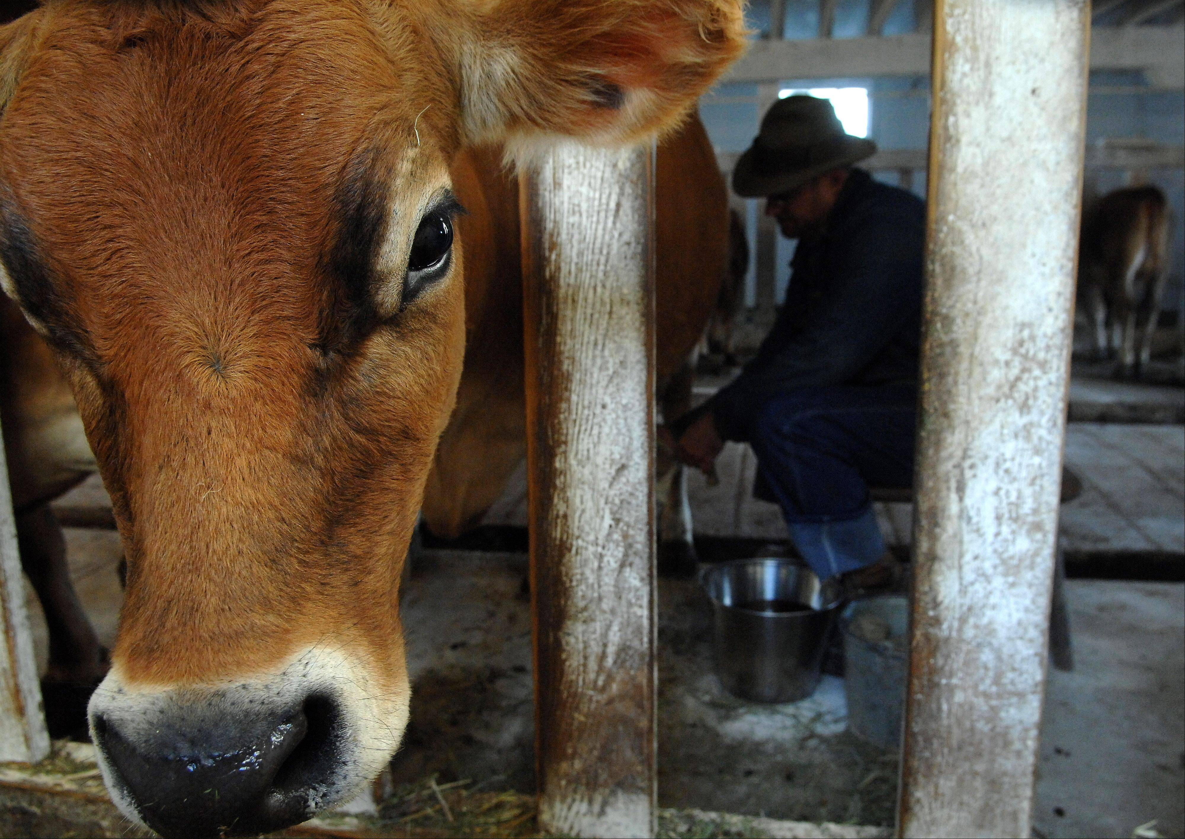 Jon Kuester milks the cows at Primrose Farm in St. Charles. They have three cows producing milk this fall.
