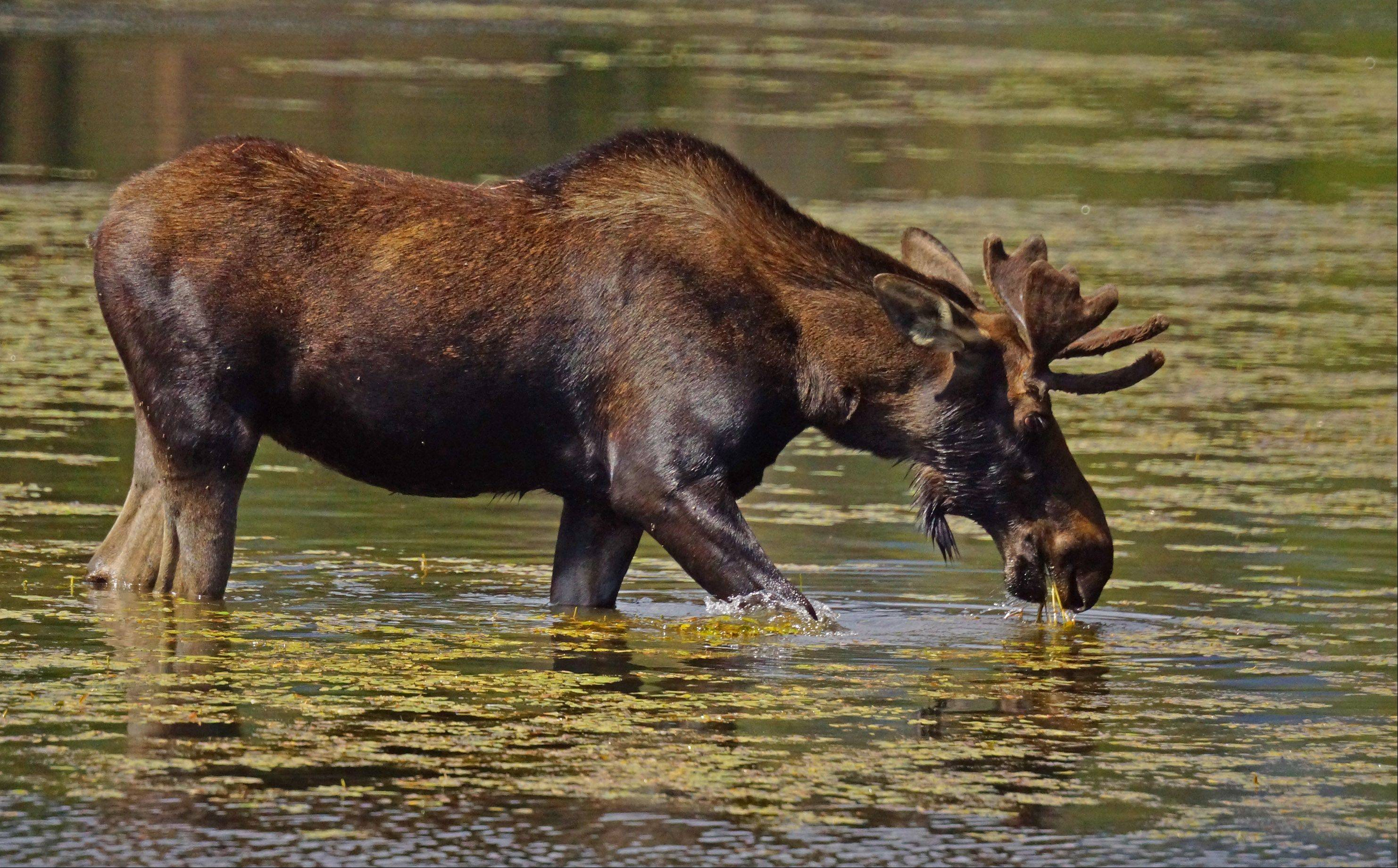 My son Steve and I were hiking around Sprague Lake in Rocky Mountain National Park when we accidentally surprised this bull moose grazing at the lake's edge. He gave us a nervous grunt and quickly moved toward the middle of the shallow lake to resume his eating.