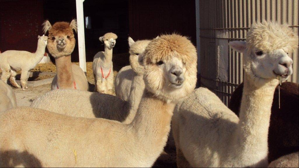 See more than 300 alpacas from across the country at the Illinois Alpaca Show at the Lake County Fairgrounds in Grayslake.