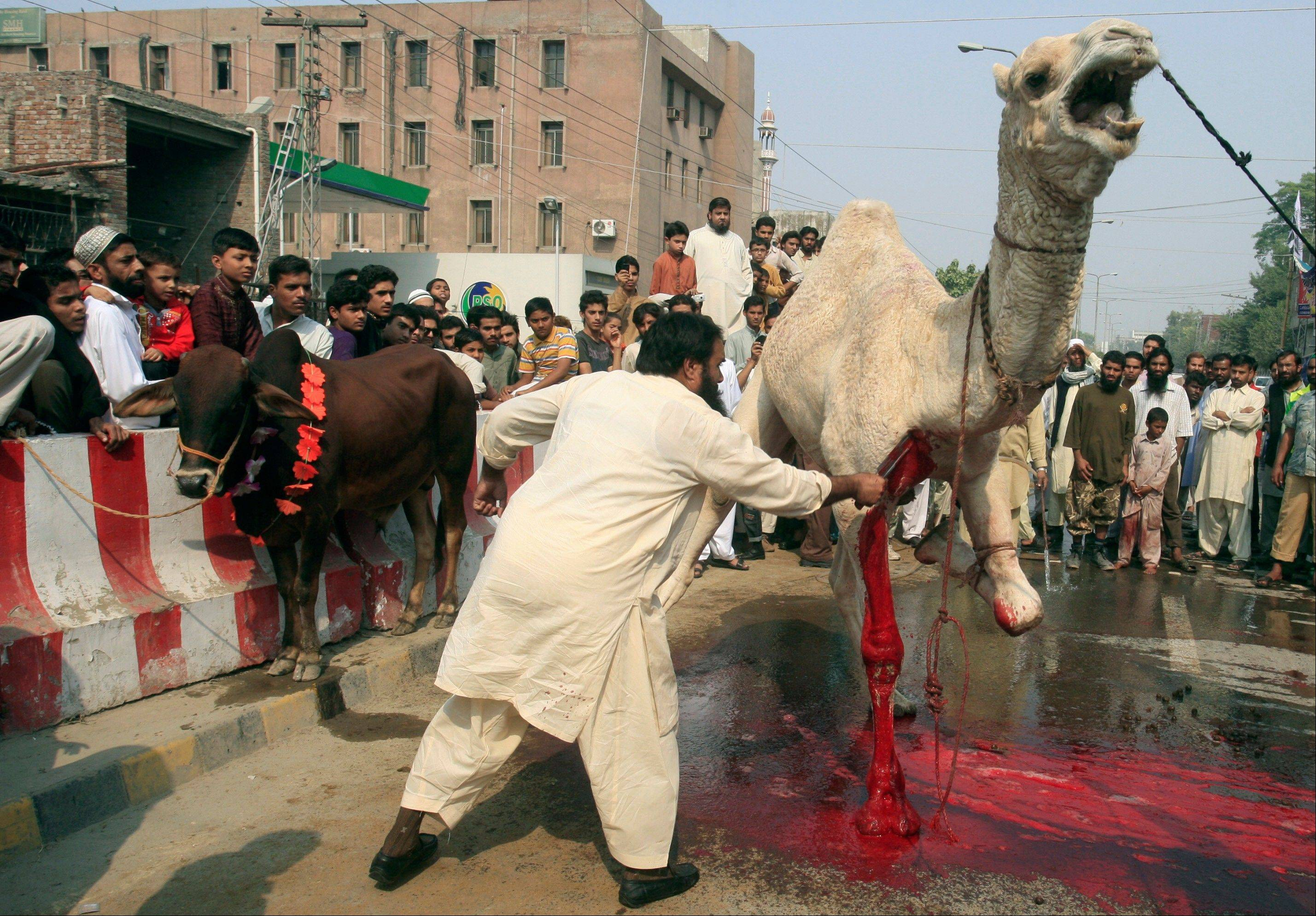 A Pakistani man slaughters a camel in a street, on the first day of the Muslim holiday of Eid al-Adha.