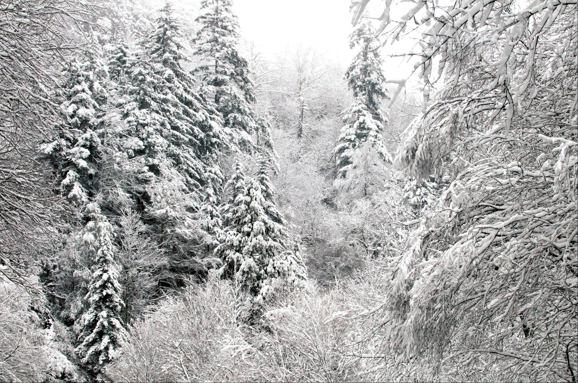 Snow-covered trees are seen after an overnight storm Monday, Oct. 29, 2012, in the Great Smoky Mountains National Park, near Gatlinburg, Tenn. Rangers expect more snow and high winds in the days to come as fallout from the storm pounding the East Coast.